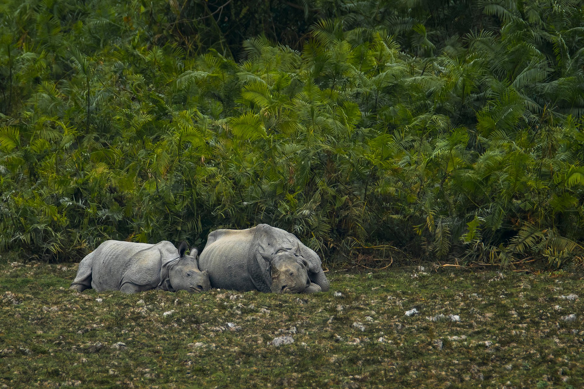 Greater One Horned Rhinoceros or Indian Rhinoceros mother is sleeping with her calf in Kaziranga National Park 2019