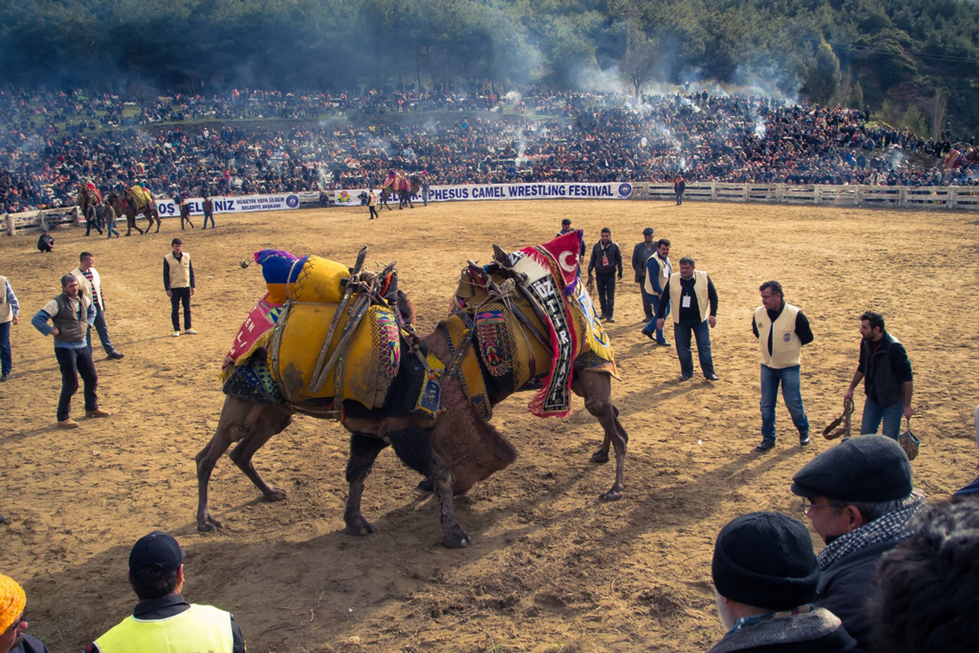 Camel Wrestling in Turkey 2020 - Best Time