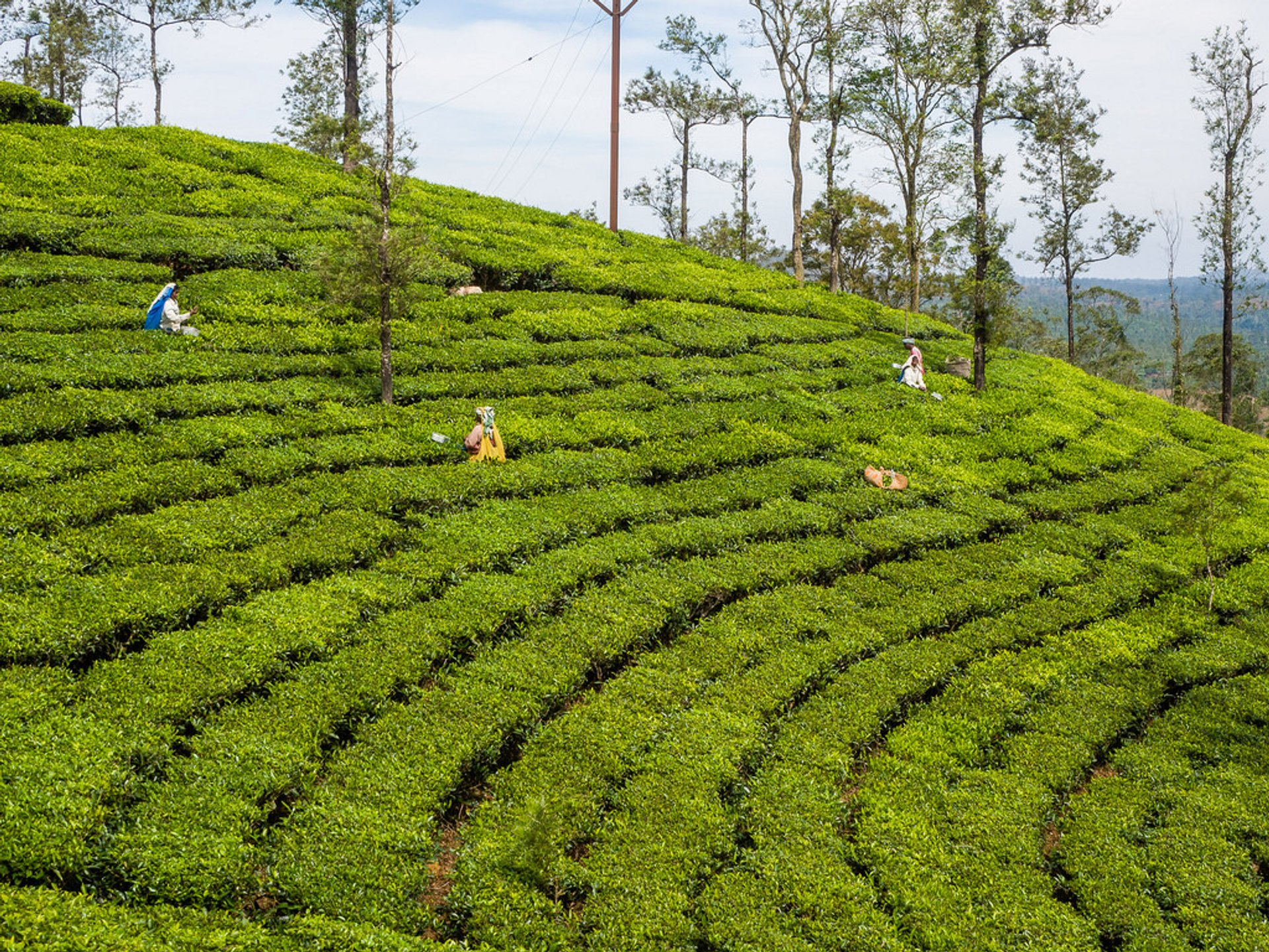 Tea Harvest in India - Best Time