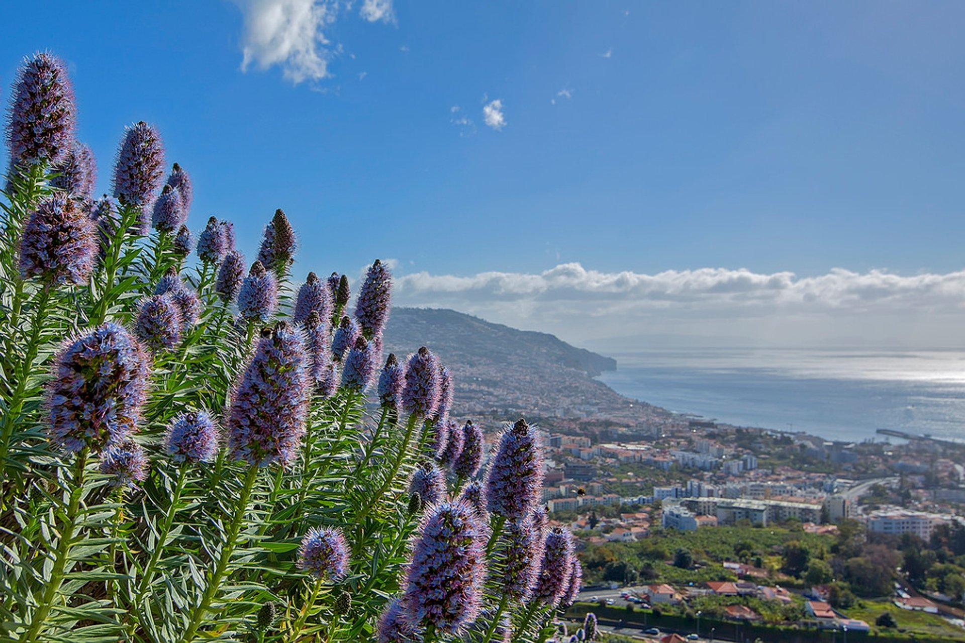 Echium or Pride of Madeira in Madeira 2019 - Best Time