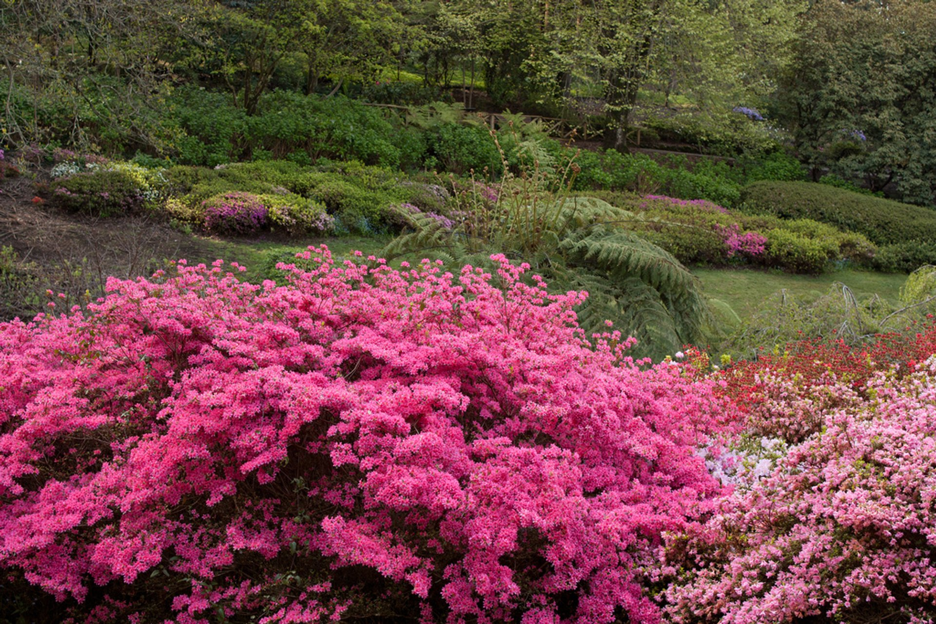 Best time for Rhododendron Blooming in Dandenong Ranges Botanic Garden in Victoria 2020