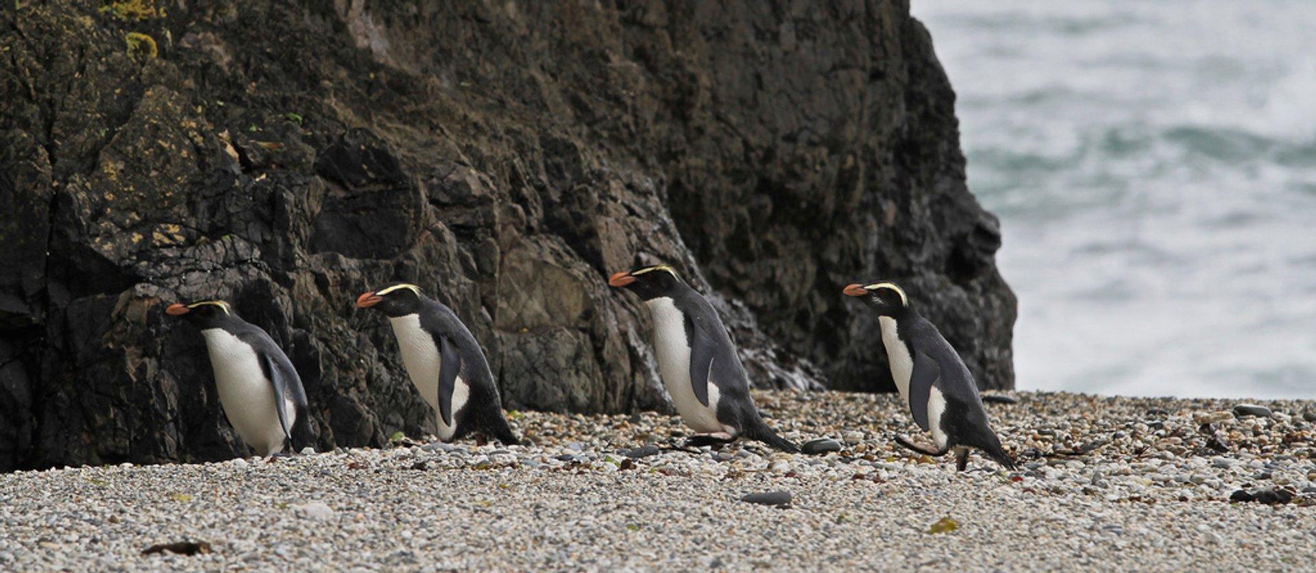 West coast, South Island, Tawaki Penguins head for the rainforest.