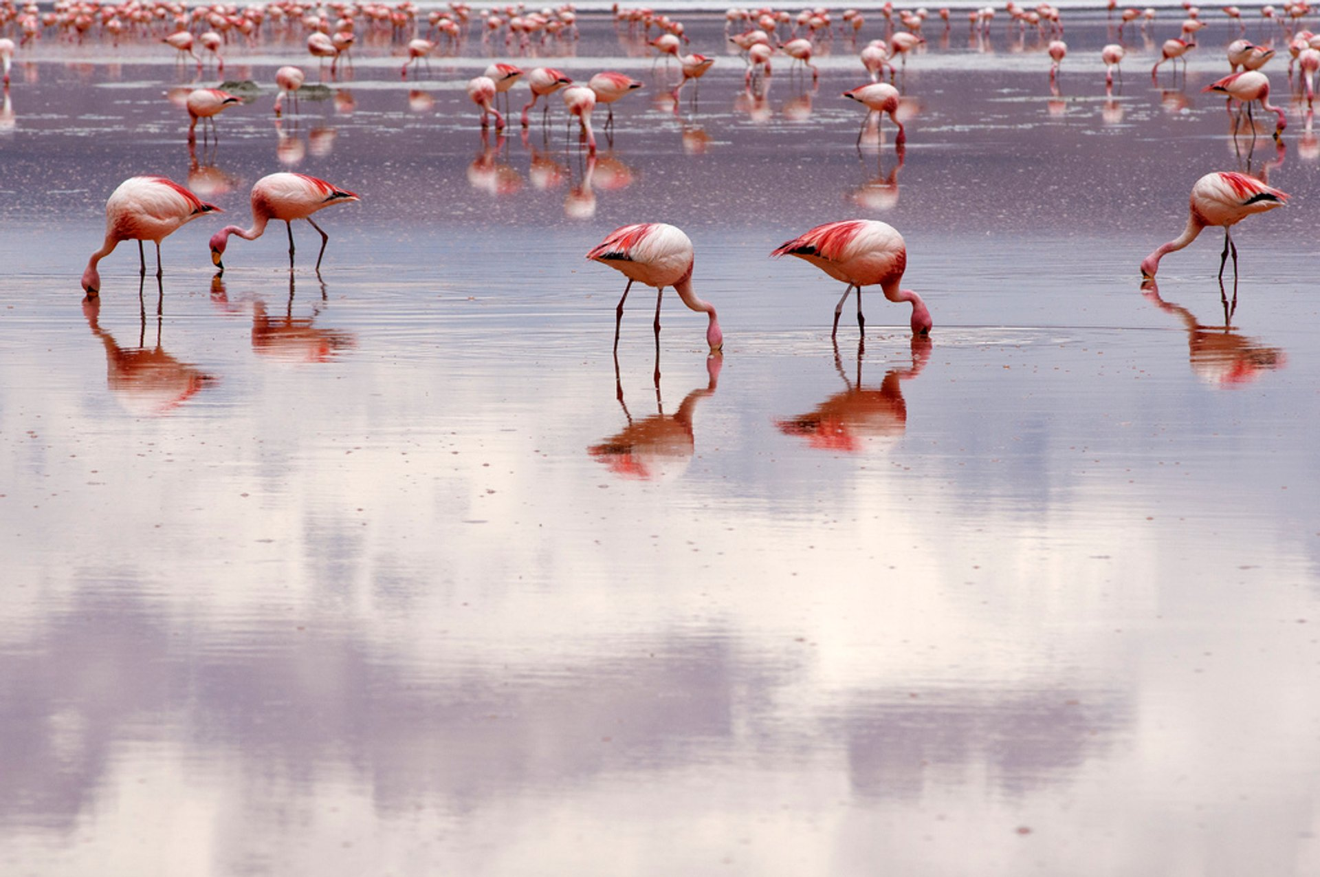 Best time for Flamingos in Bolivia 2019