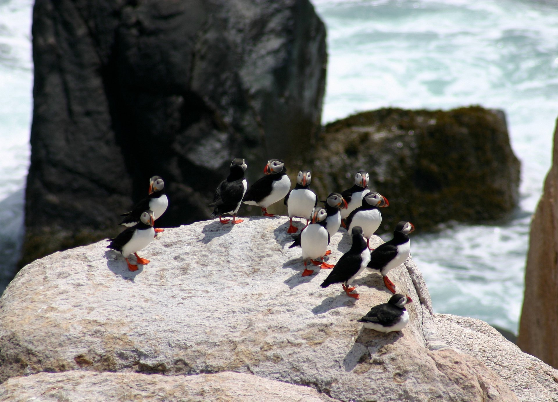 Atlantic puffins at Matinicus Rock 2020