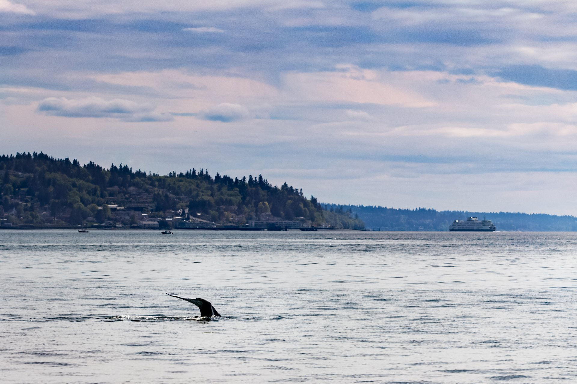 Fluke of gray whale disappears into the Puget Sound with a a Washington State Ferry in background 2020