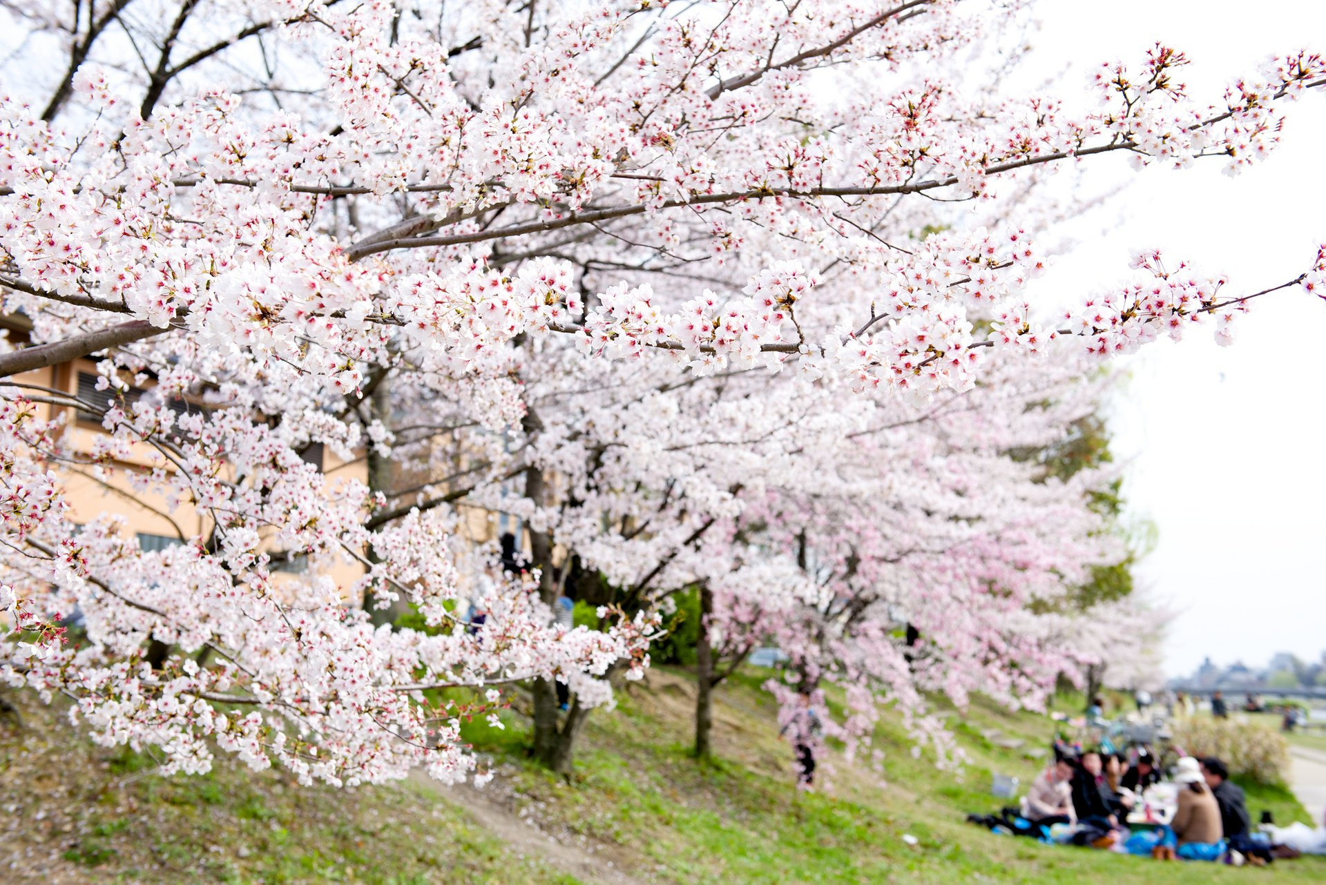 Best time to see Cherry Blossom in Kyoto 2020