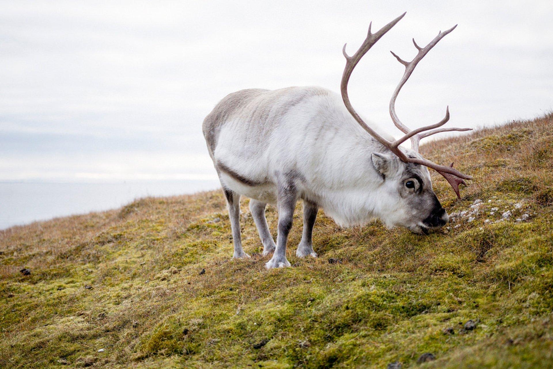Reindeer in Svalbard 2019 - Best Time