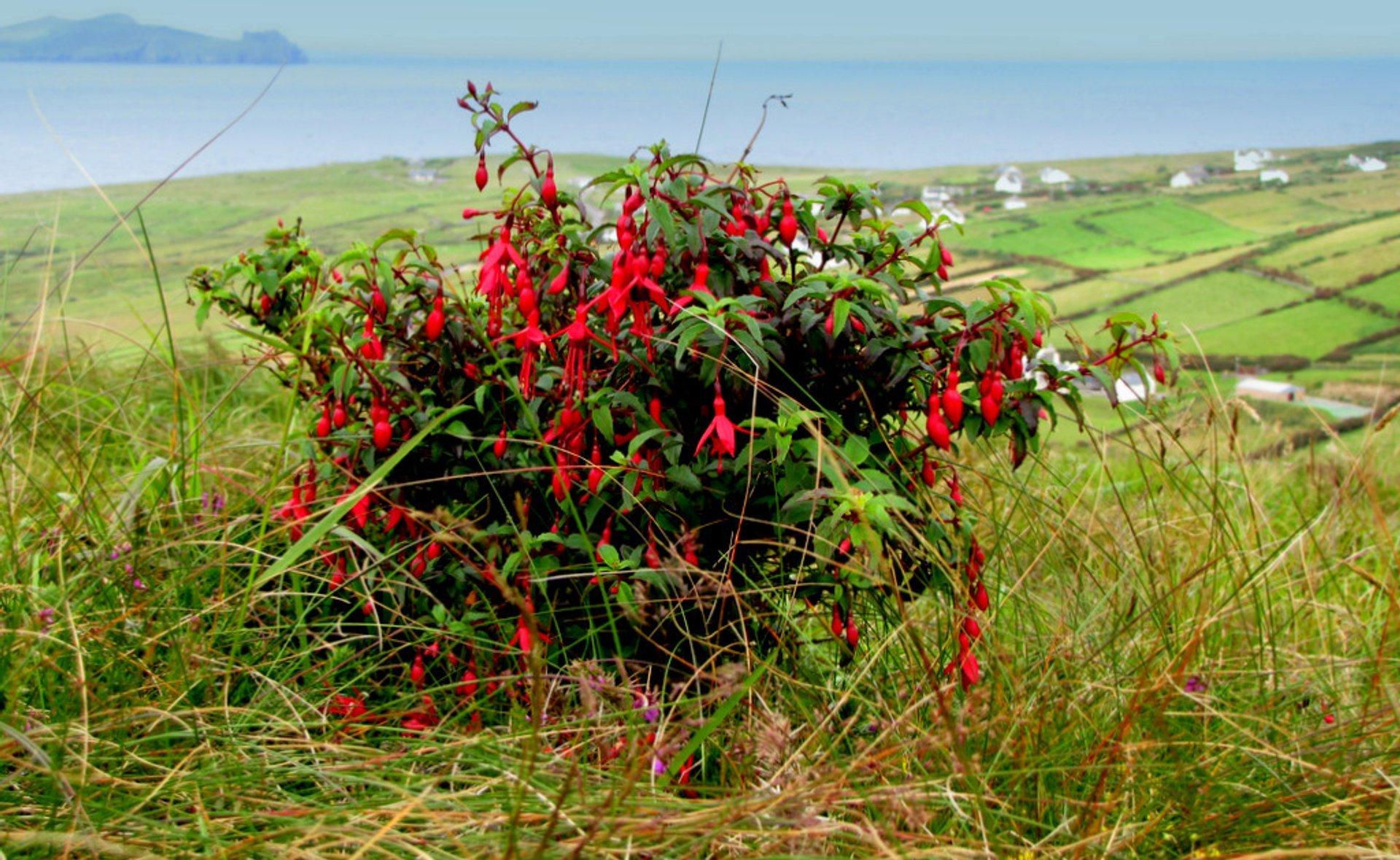 Best time for Fuchsia Flower in Ireland 2020