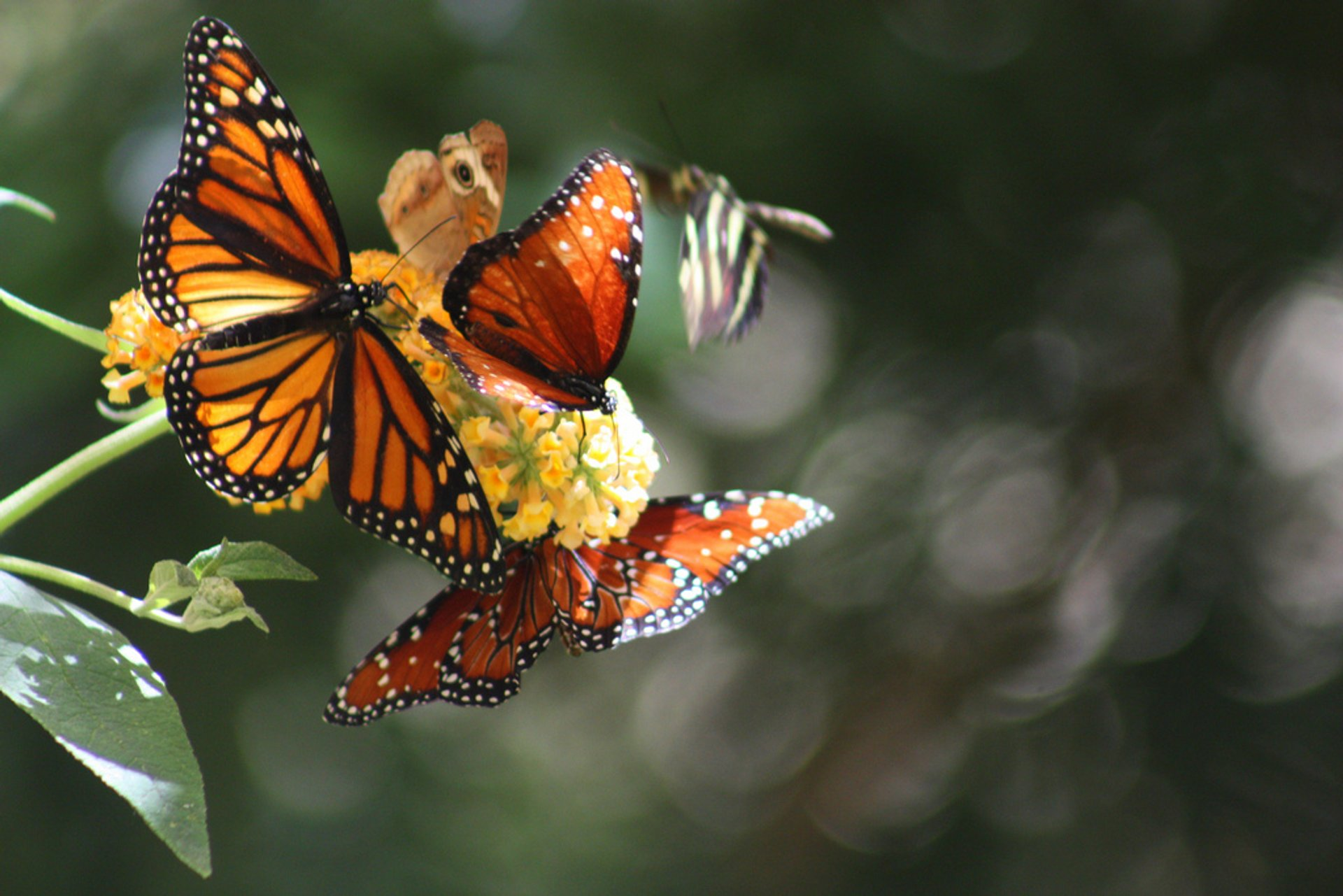Best time to see Monarch Butterflies in California 2020