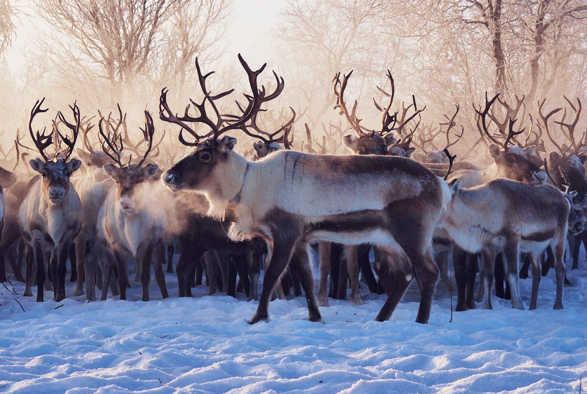 Reindeer Migration in Norway 2020 - Best Time