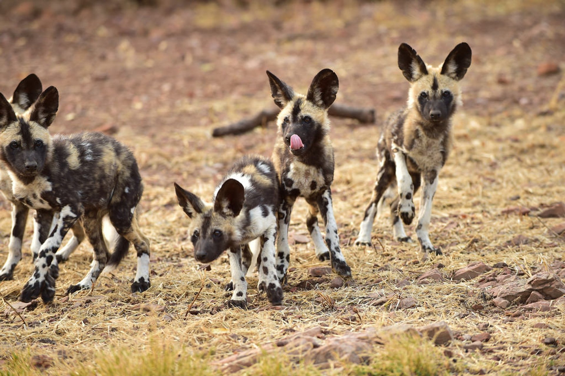 African wild dogs in De Wildt Cheetah and Wildlife Centre 2020