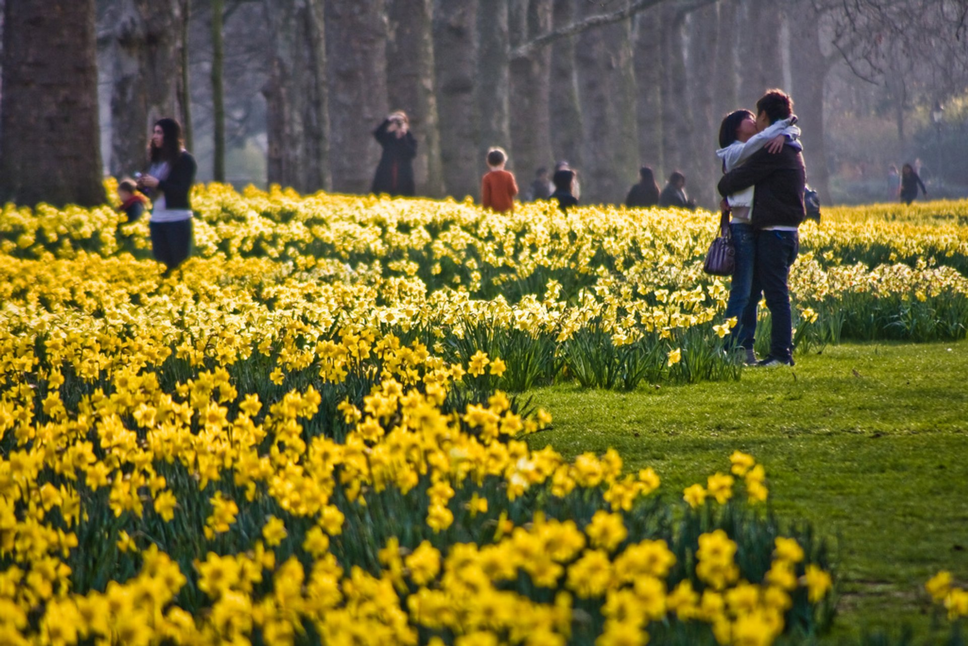 Daffodils in St James's Park 2020