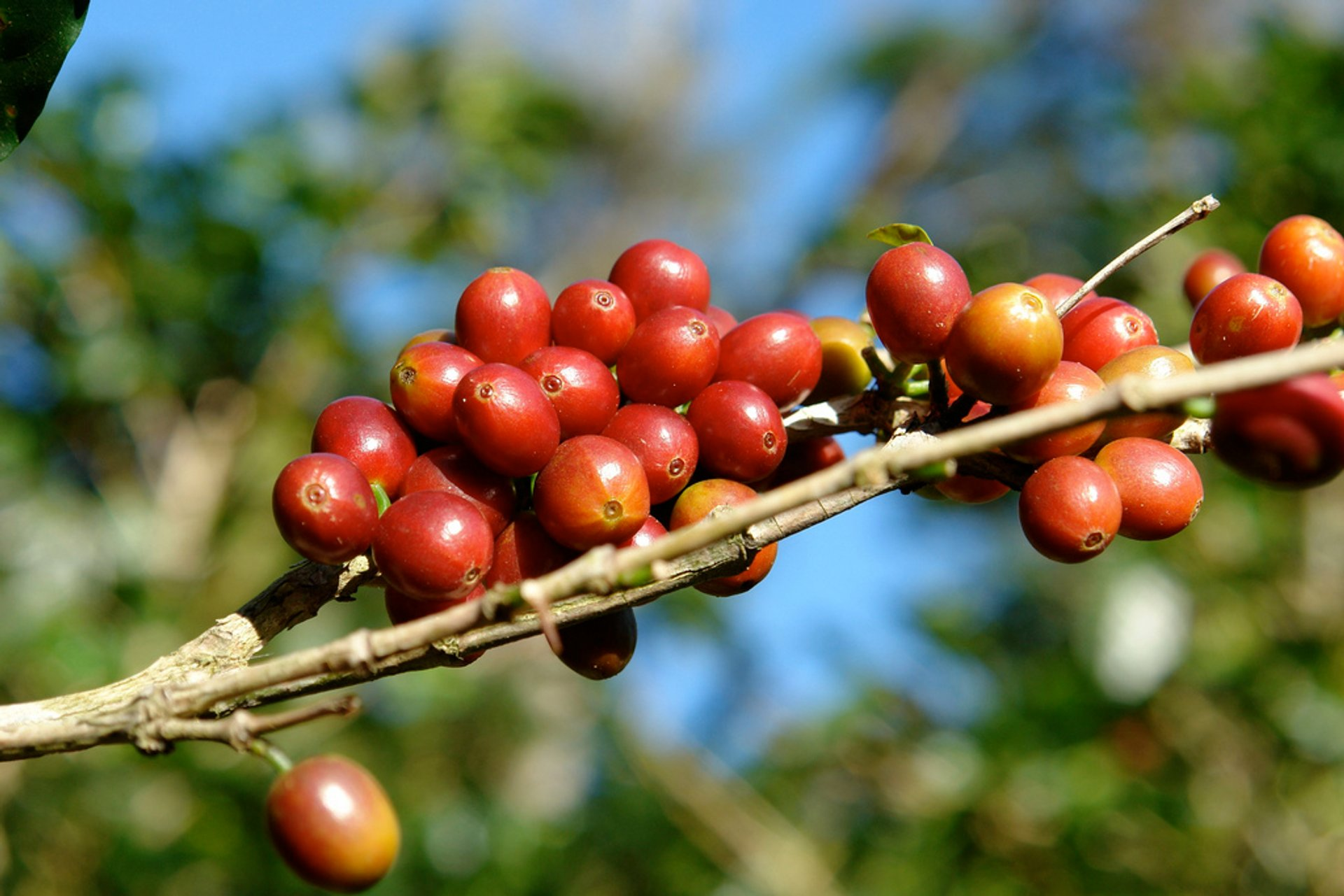 Best time for Coffee Picking Season in Panama 2019