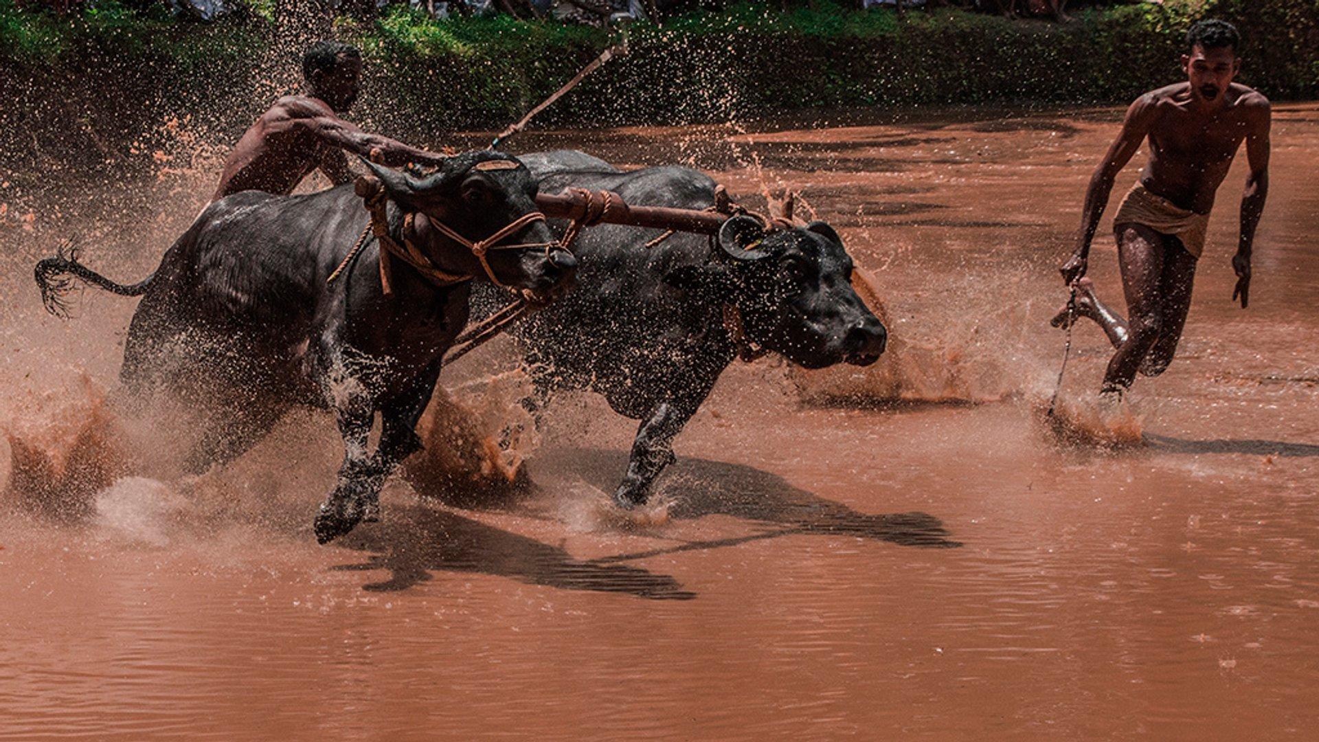 Bull Surfing in Kerala 2019 - Best Time