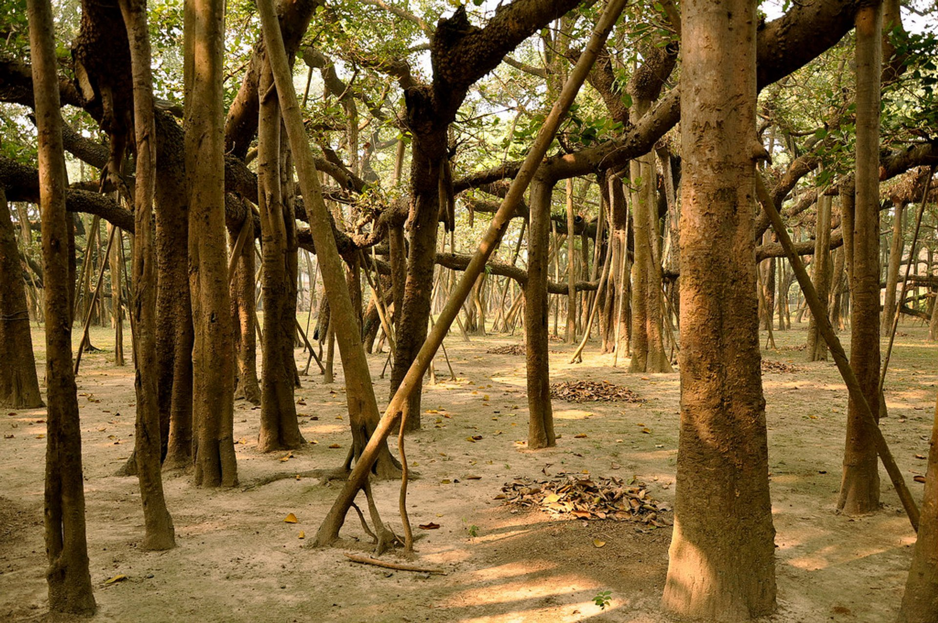 Best time for Great Banyan Tree in India
