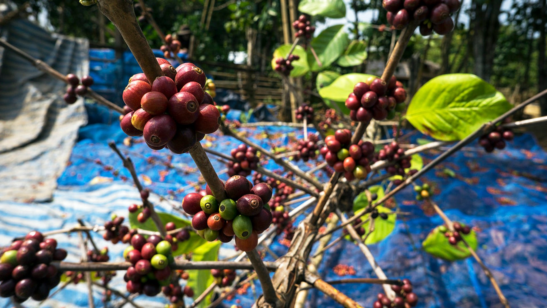 Coffee Harvest in Laos - Best Season