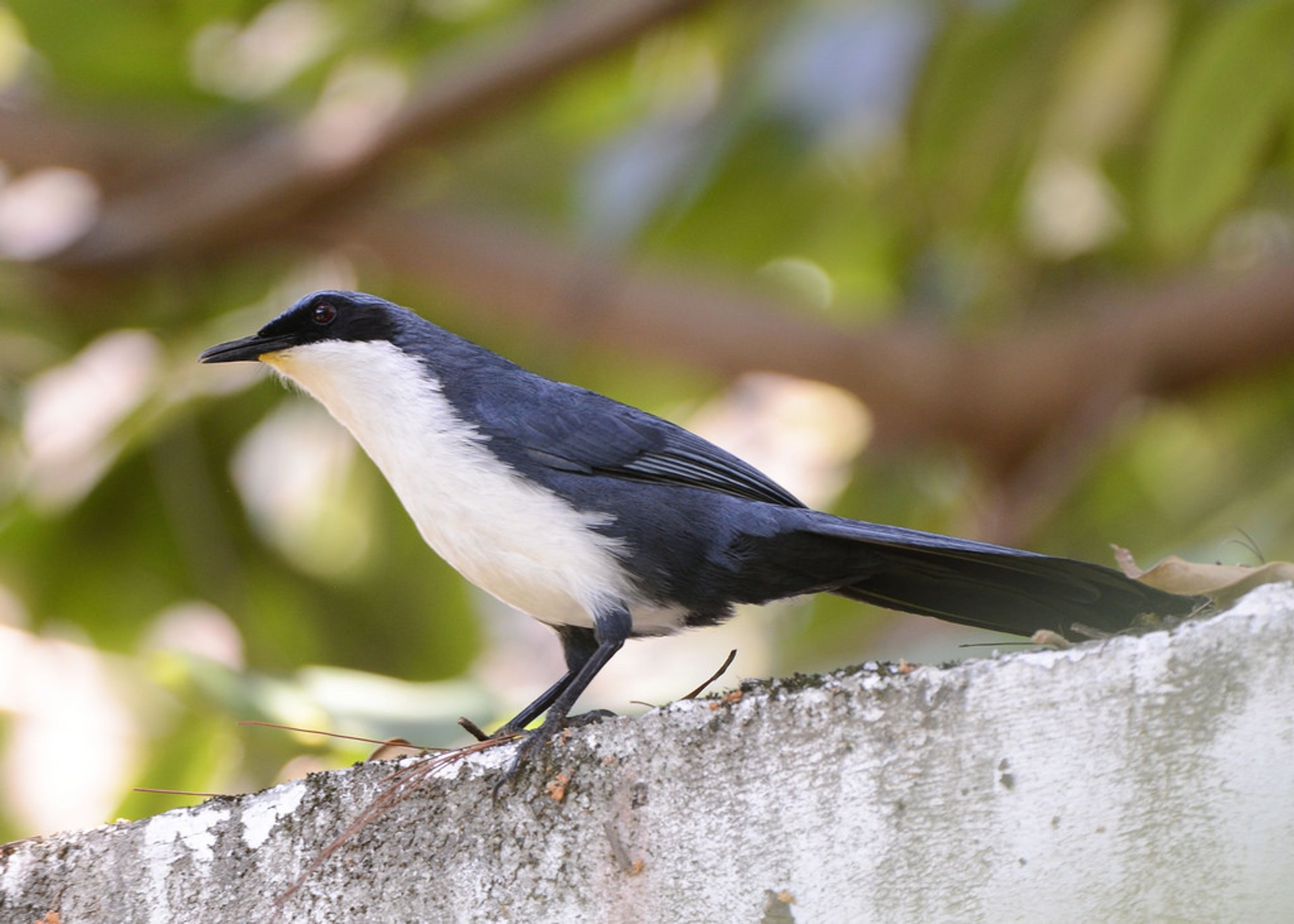 Blue-and-white Mockingbird (Melanotis hypoleucus) 2019