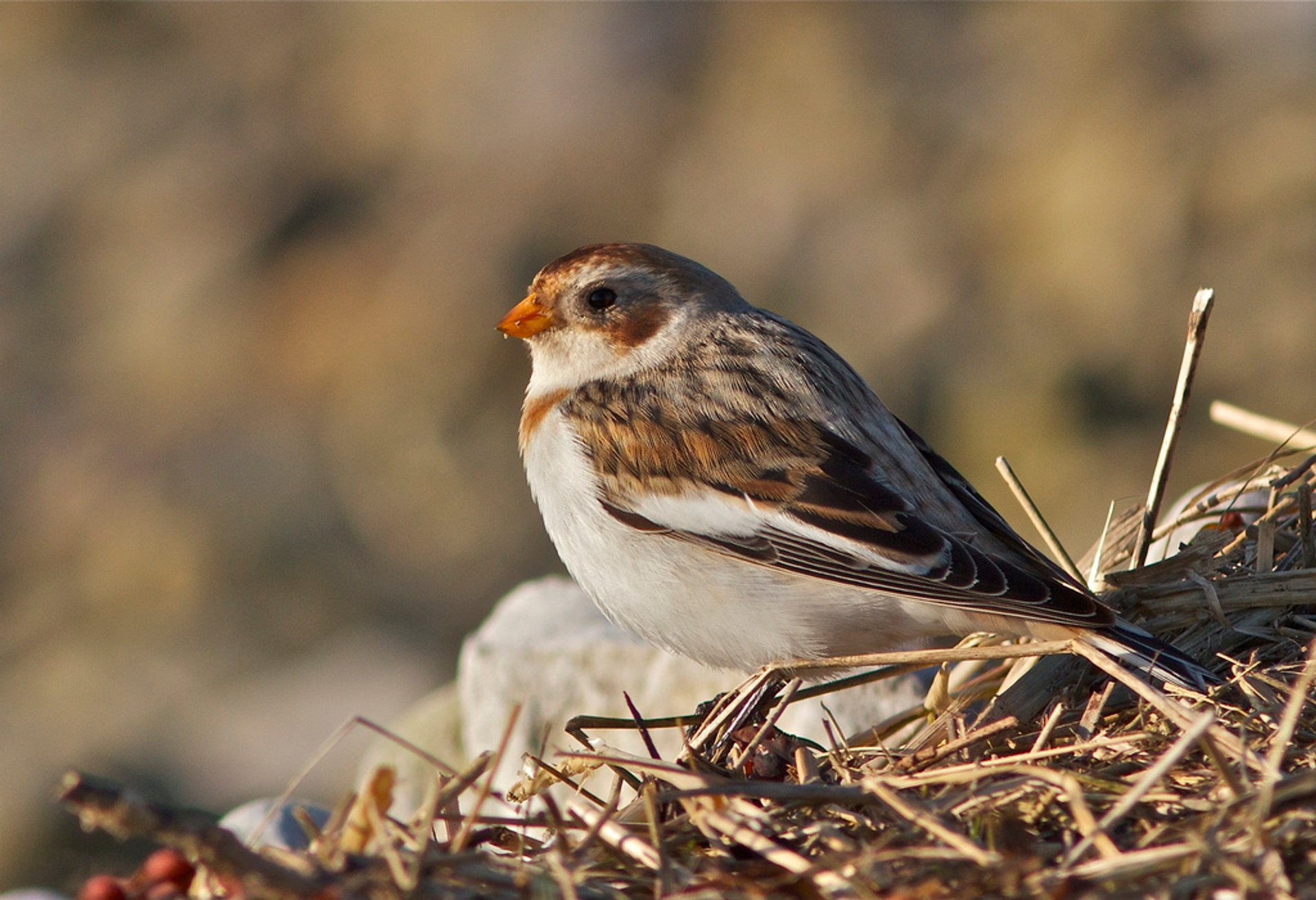 Snow Bunting at Red Wharf Bay, Wales, United Kingdom