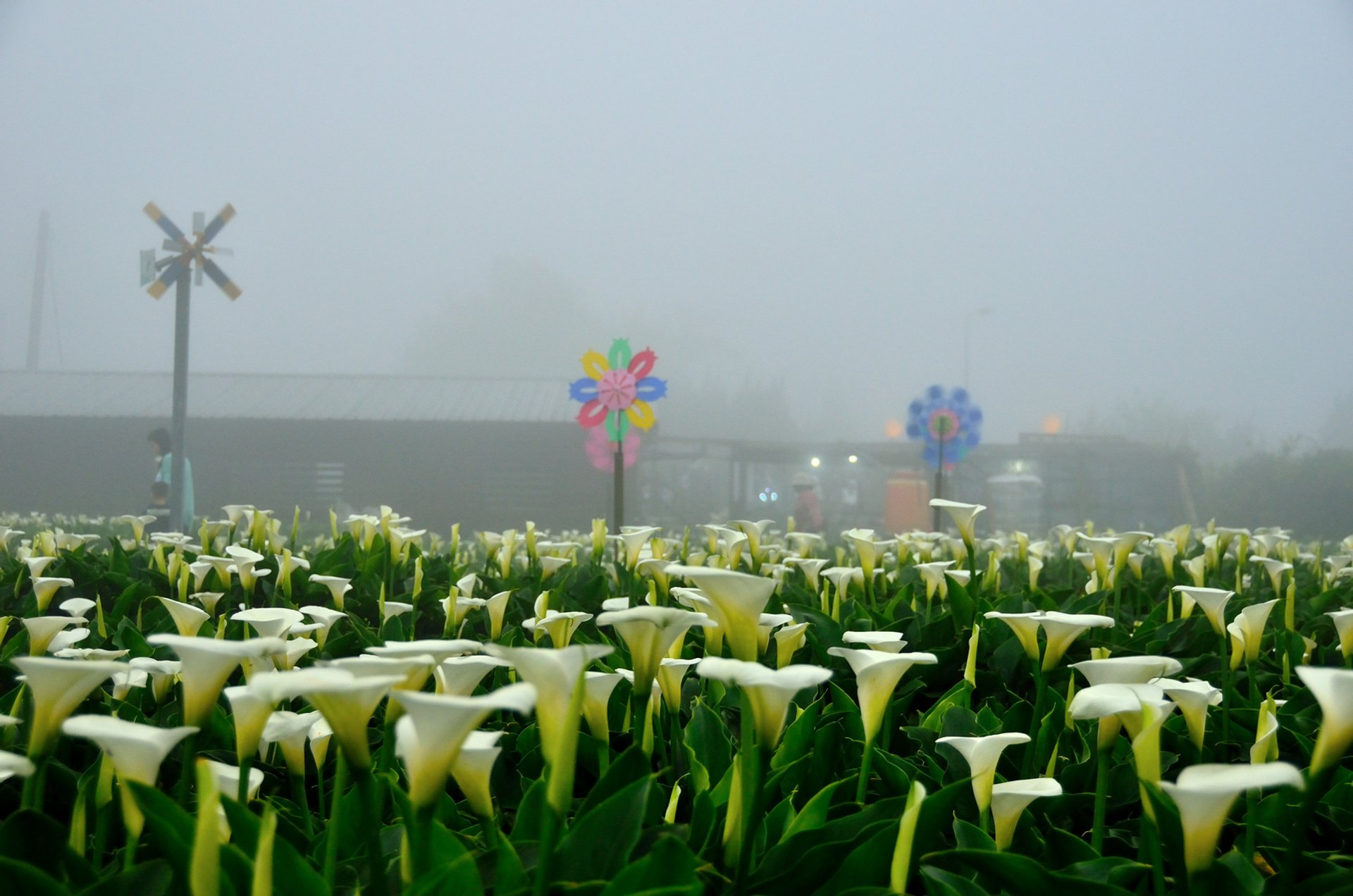 Best time to see Calla Lily Festival in Taiwan 2019