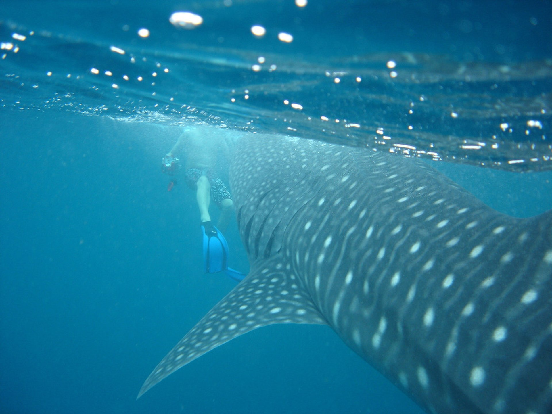 Whale Shark off Rangali, Maldives 2019