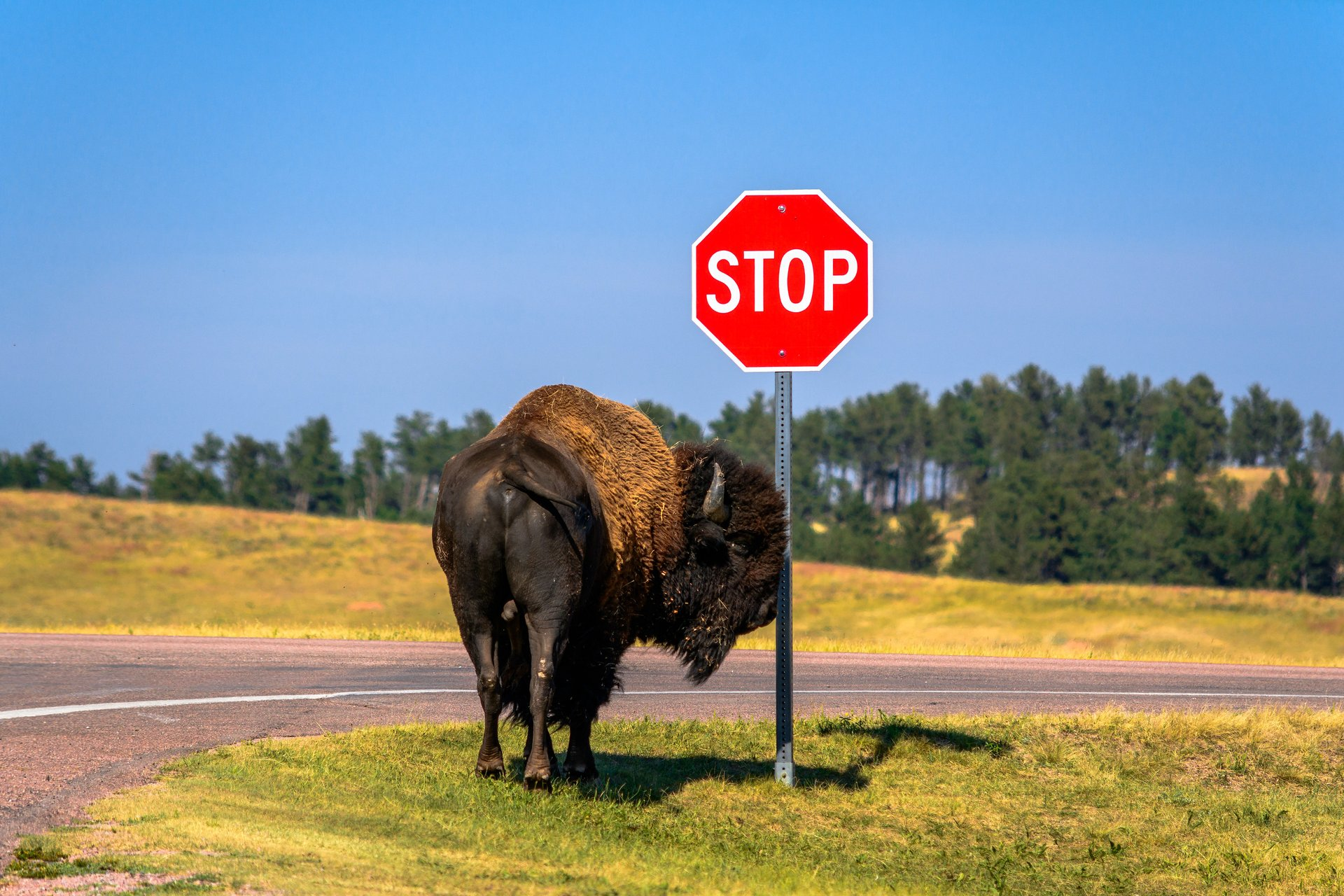 Bison Herd in Wind Cave National Park in South Dakota - Best Season 2020