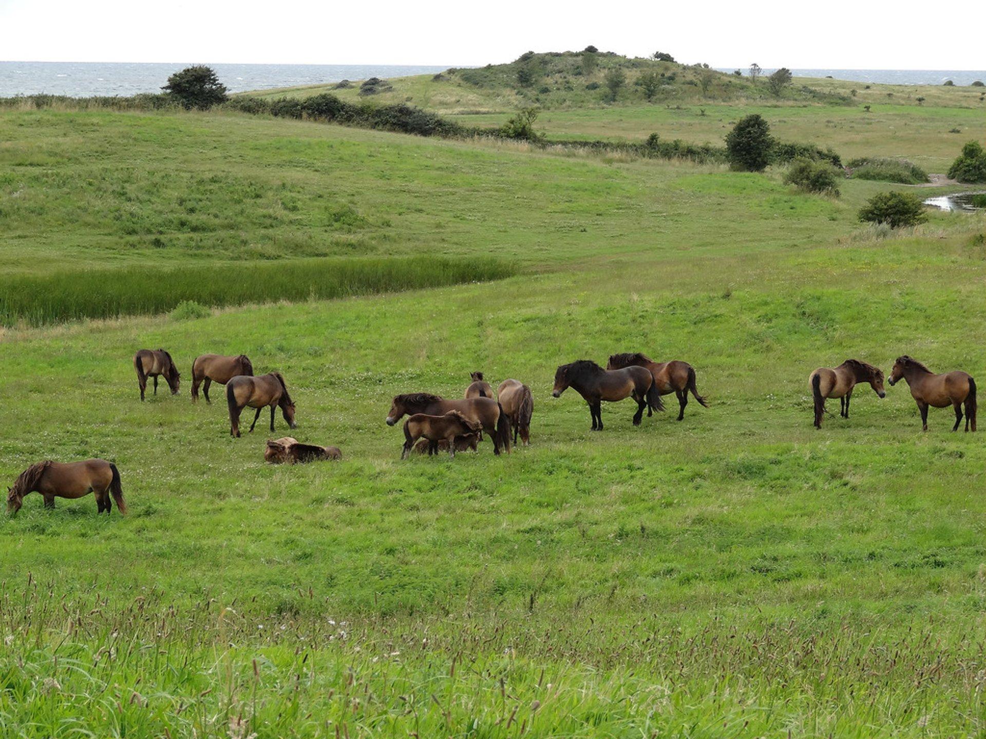 Best time for Wild Horses in Denmark 2020