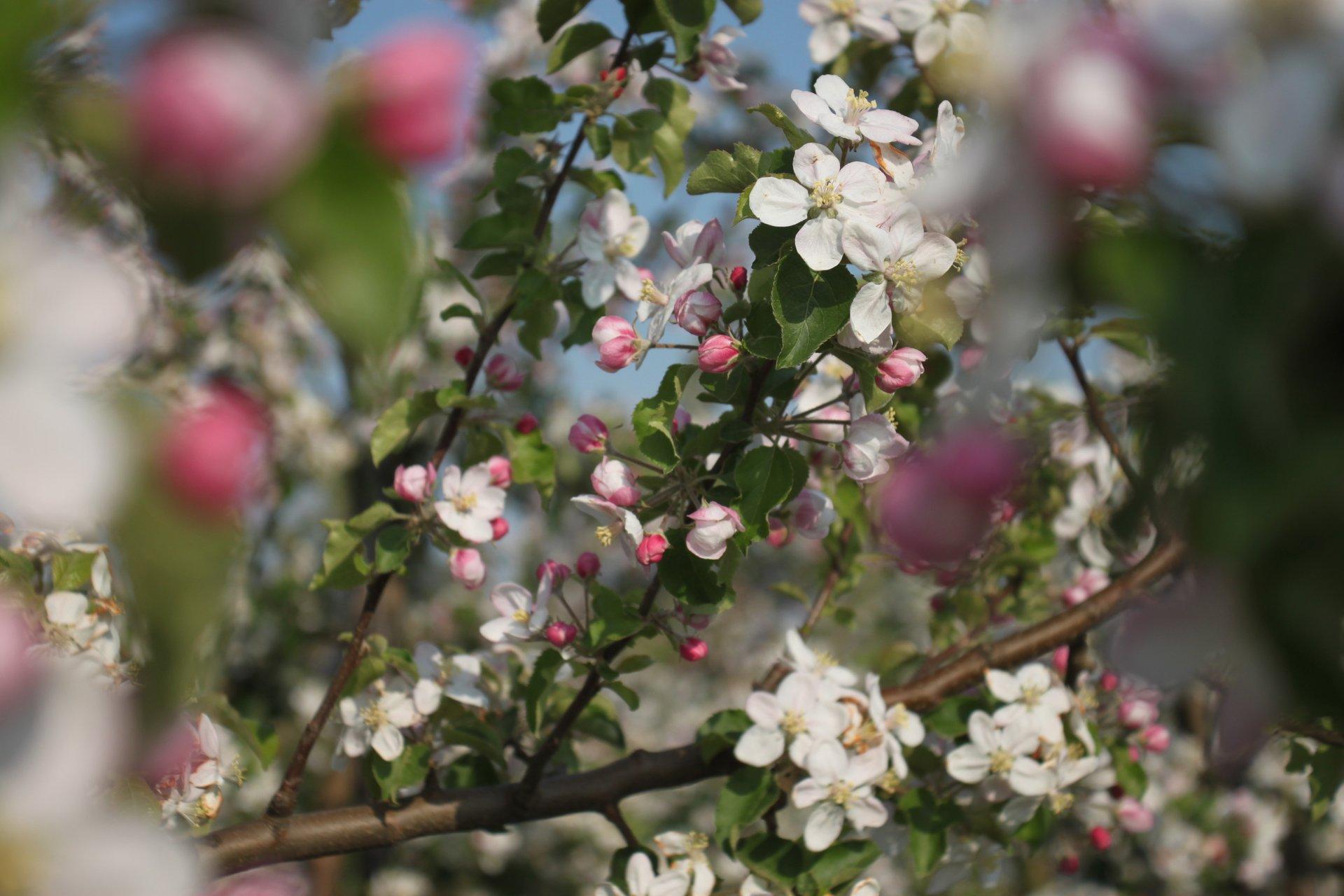 Blossom Season in Haspengouw in Belgium 2020 - Best Time
