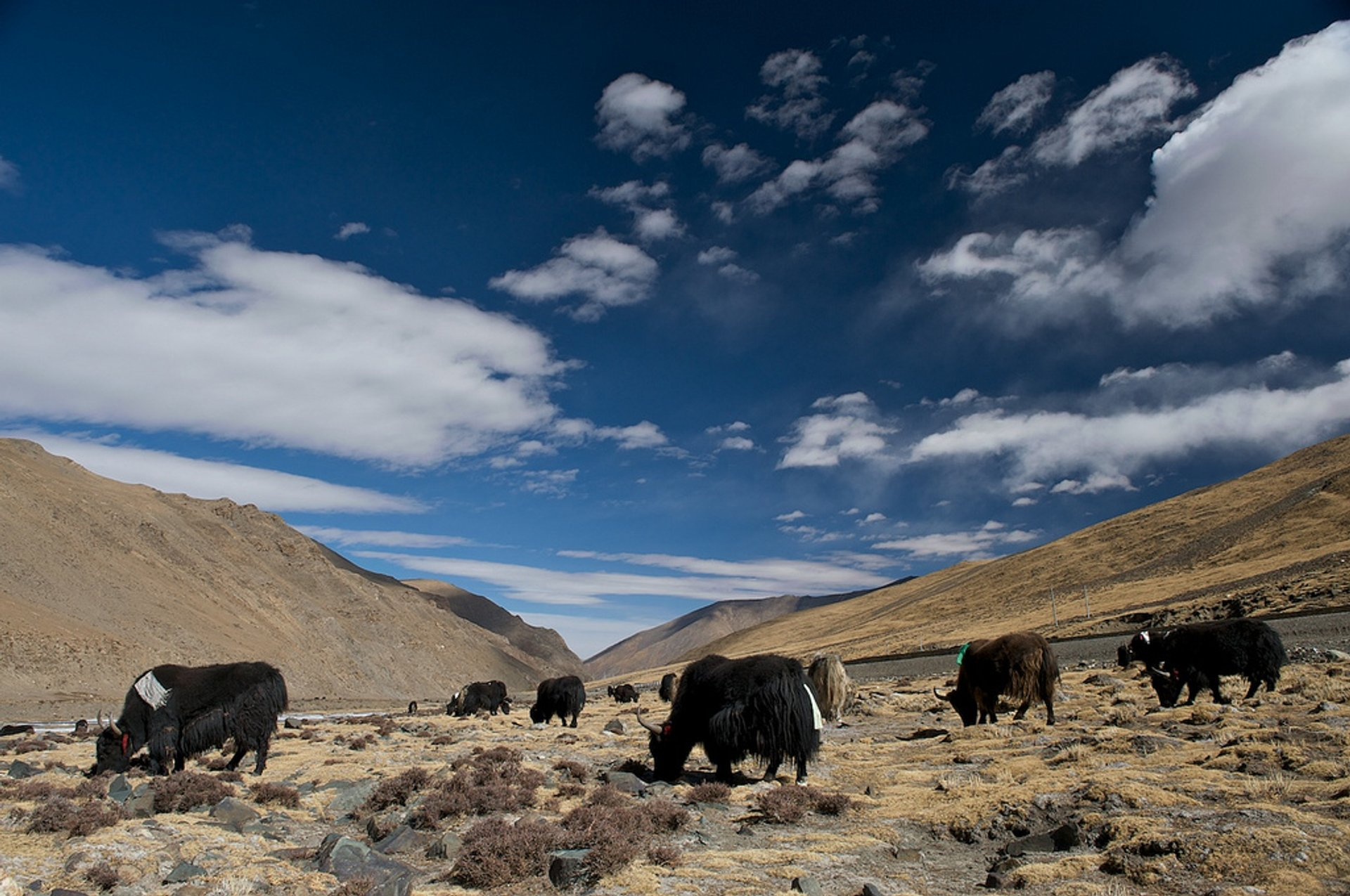 Best time for Yaks in Tibet