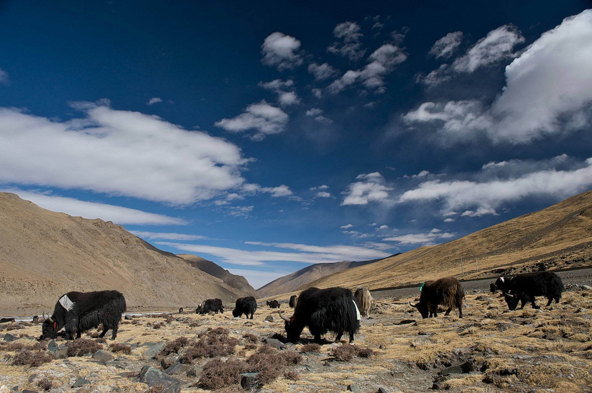 Best time for Yaks in Tibet 2020