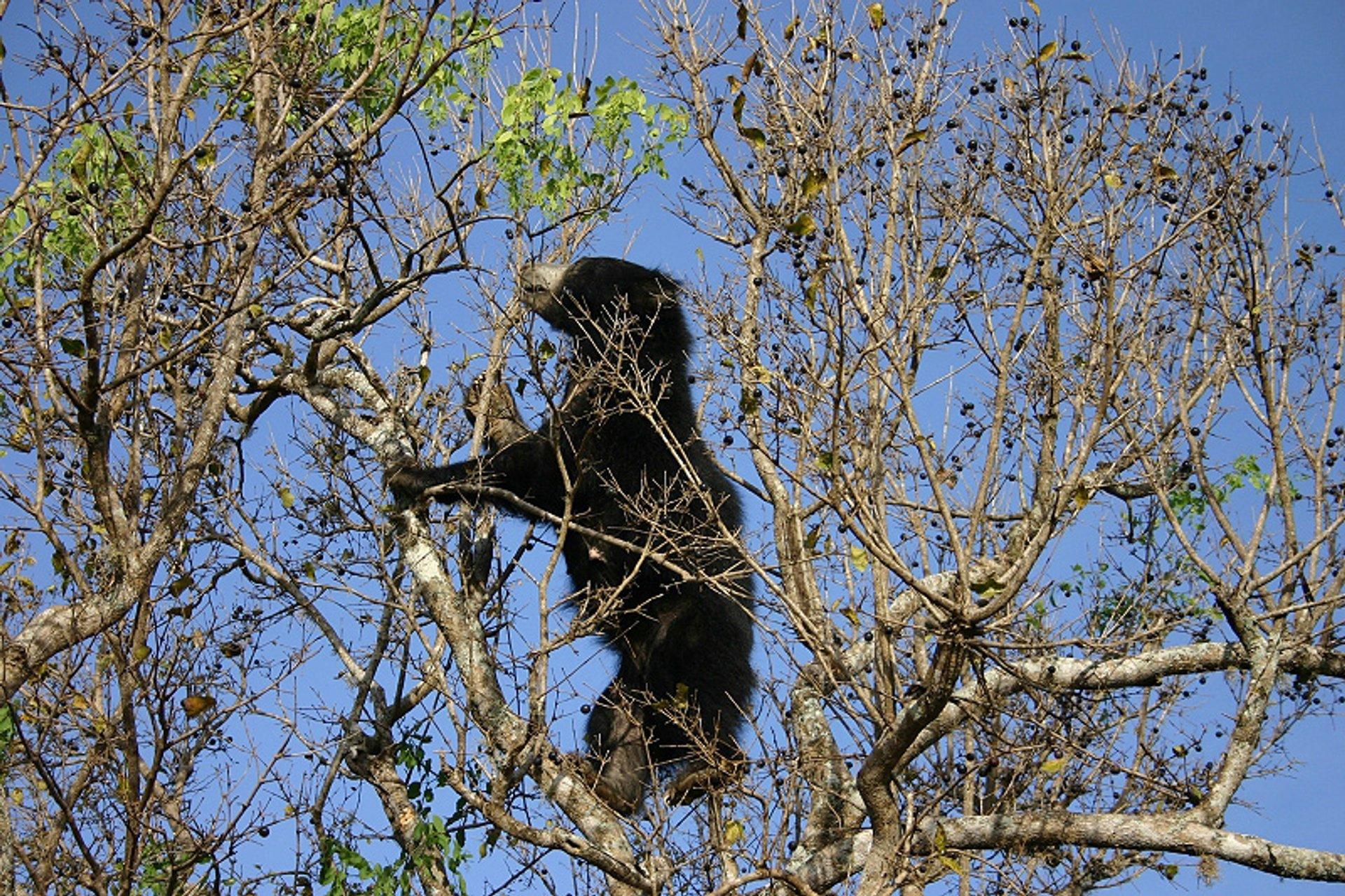 Sloth Bear in Sri Lanka - Best Season 2020