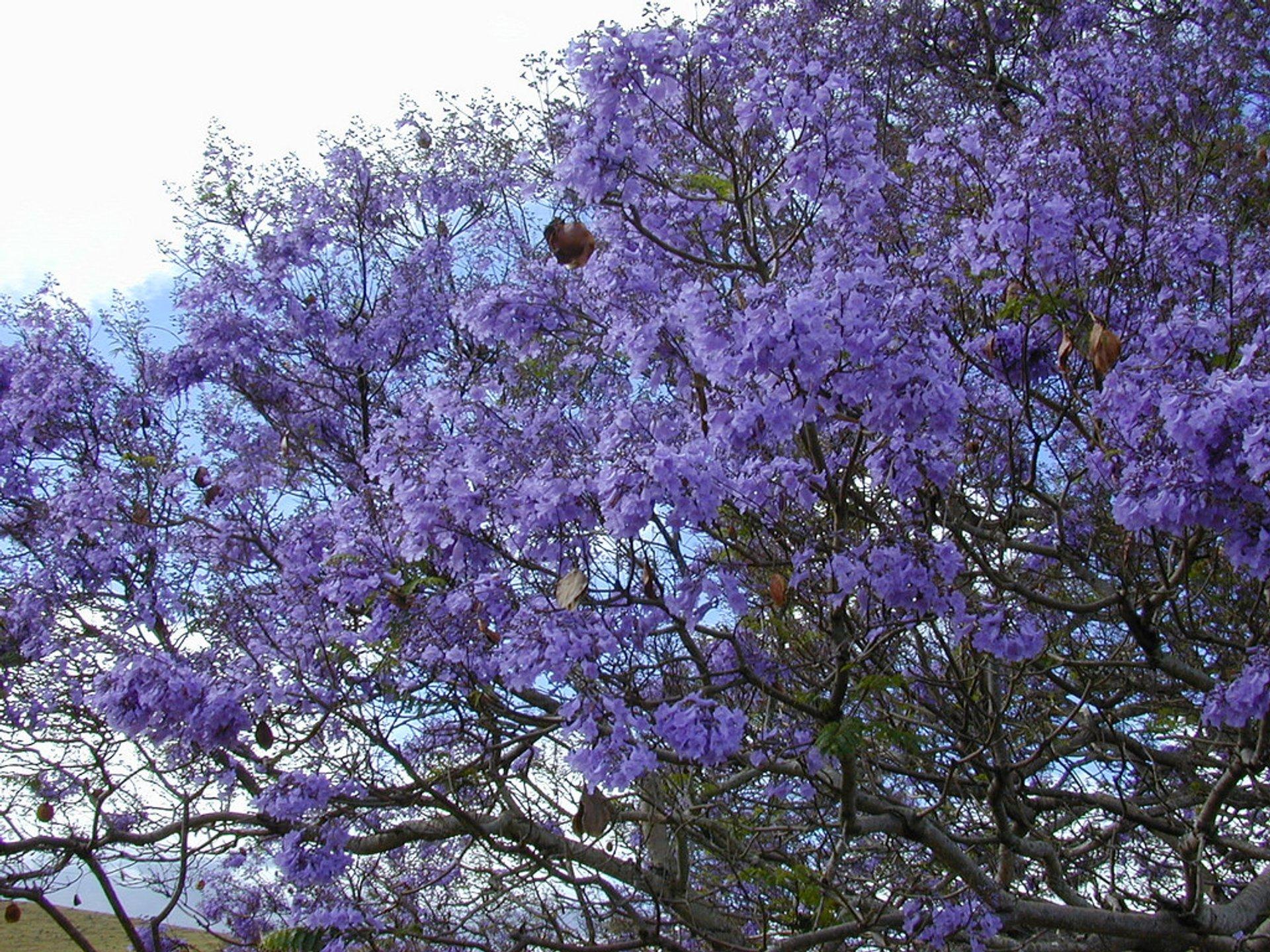 Jacaranda Tree Blooming in Hawaii 2019 - Best Time