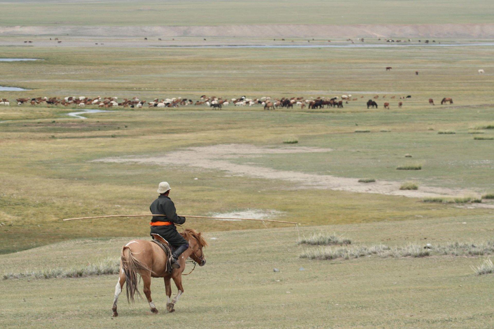 Mongolian cowboy herding horses 2020