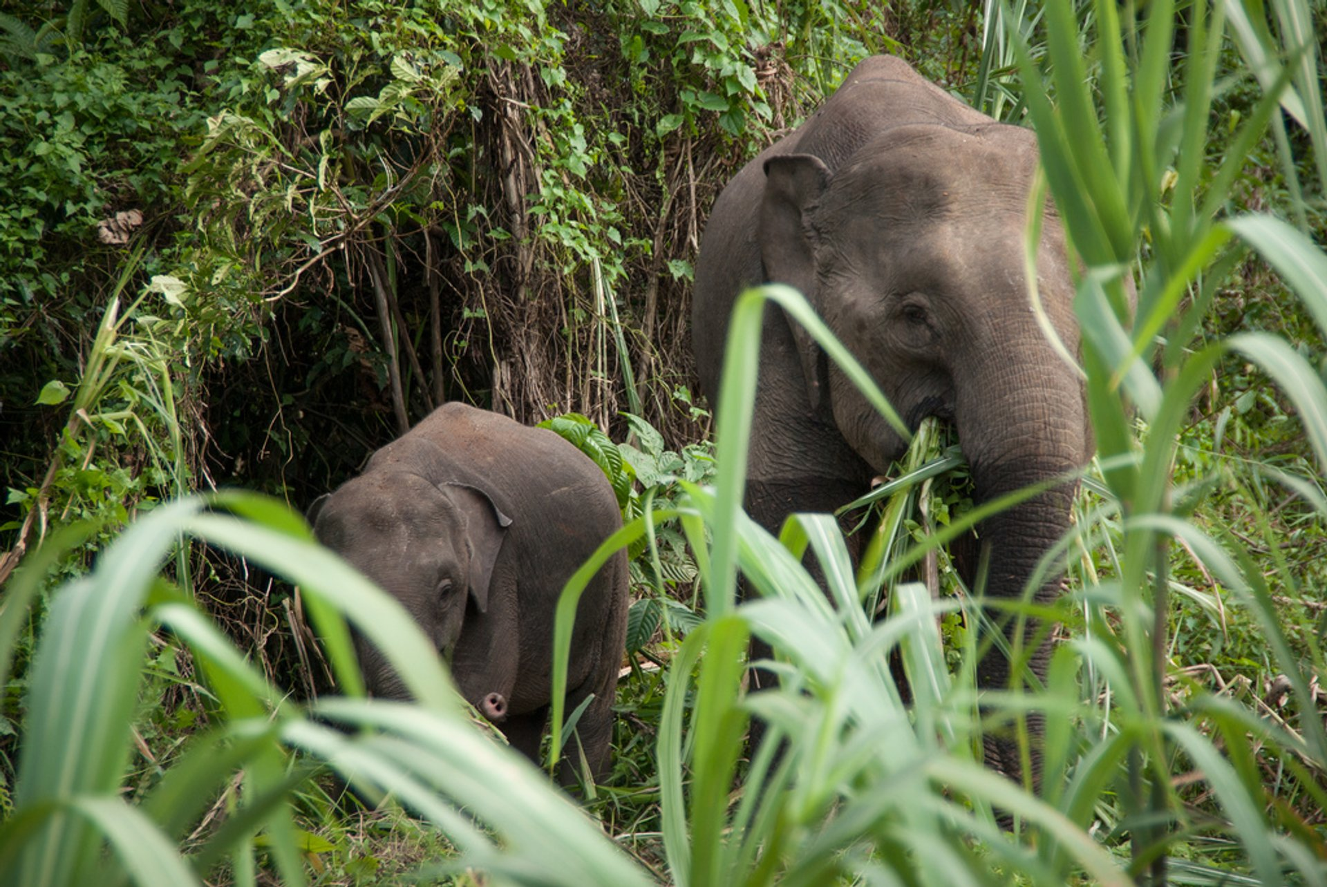 Best time for Pygmy Elephants in Malaysia 2020