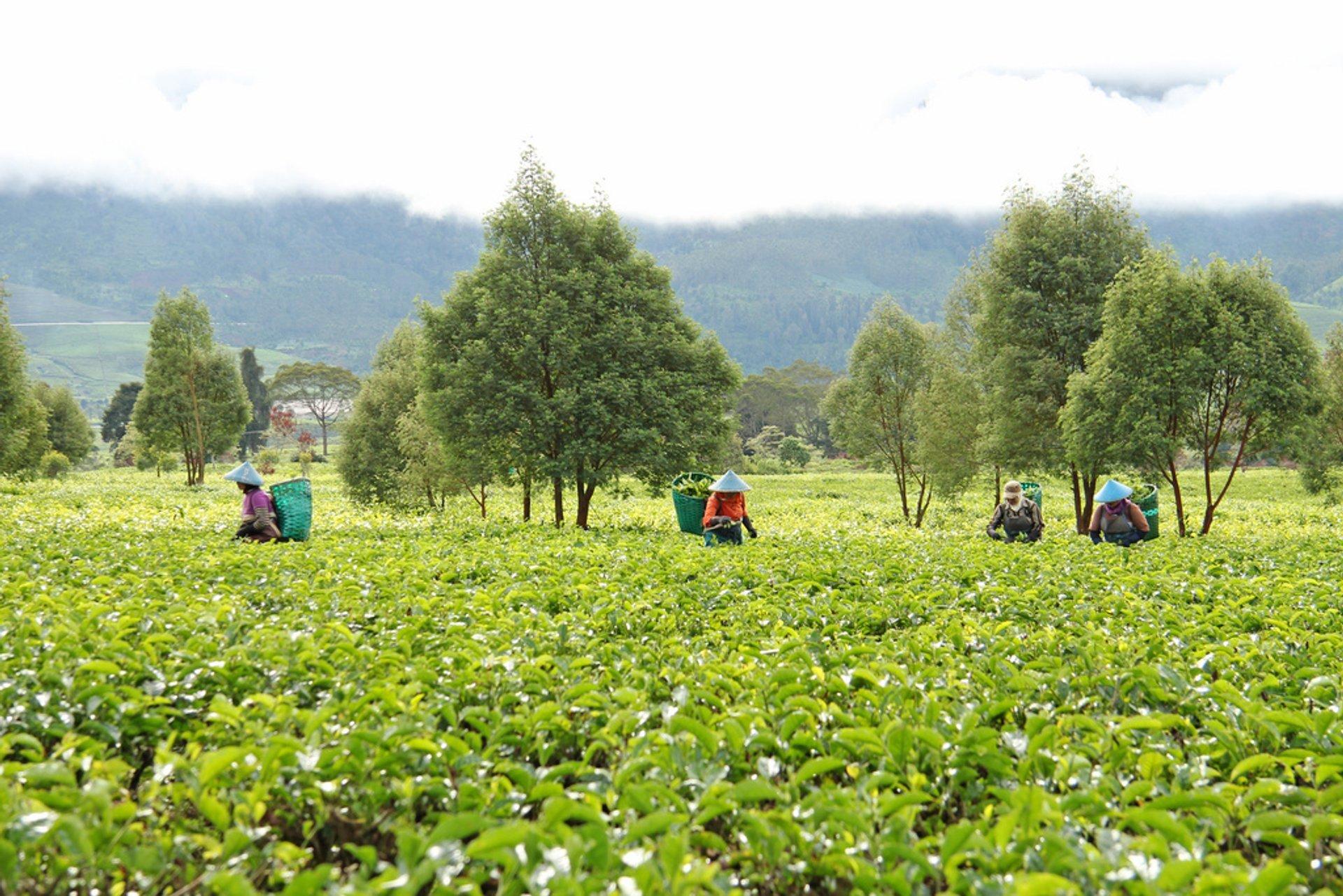 Malabar tea plantation 2019