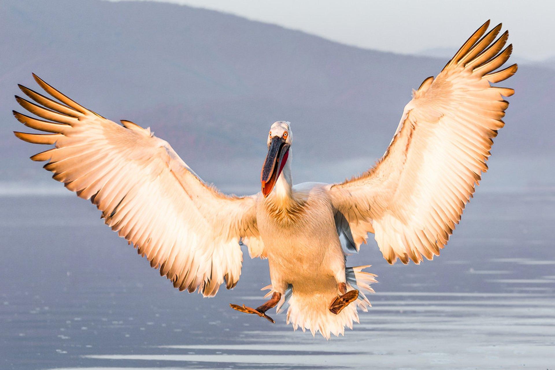 Dalmatian Pelican Breeding Season in Greece 2020 - Best Time