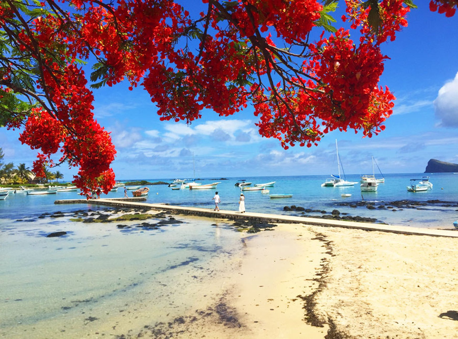 Flamboyant Tree Blossom in Mauritius - Best Time