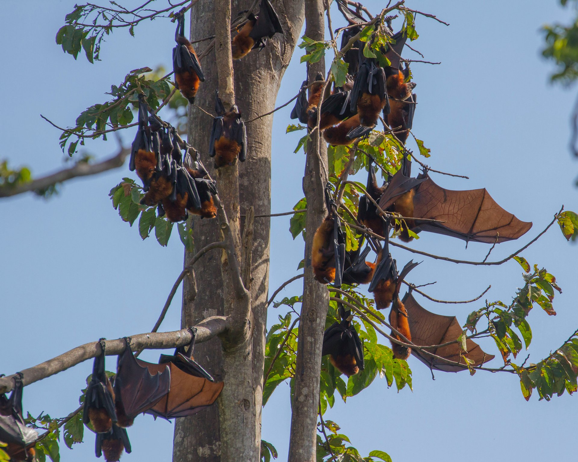 Pemba Flying Fox Breeding Season in Zanzibar 2019 - Best Time