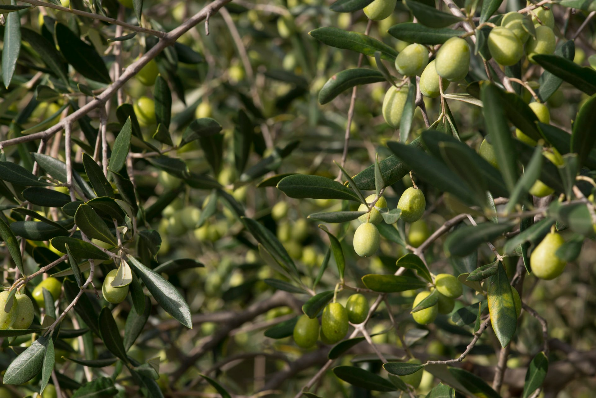 Olive Harvest in Florence 2020 - Best Time
