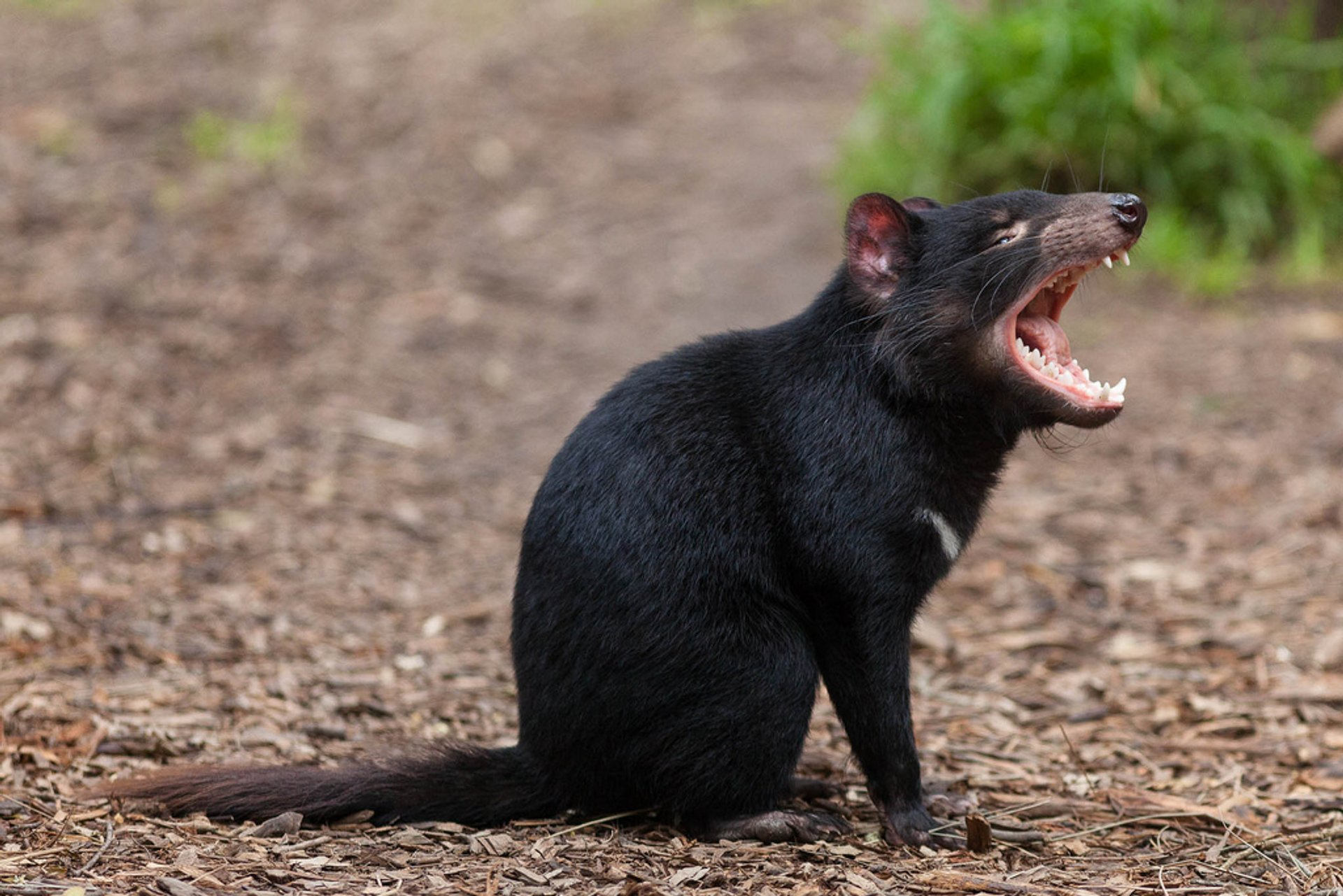Tasmanian Devil in Tasmania - Best Time