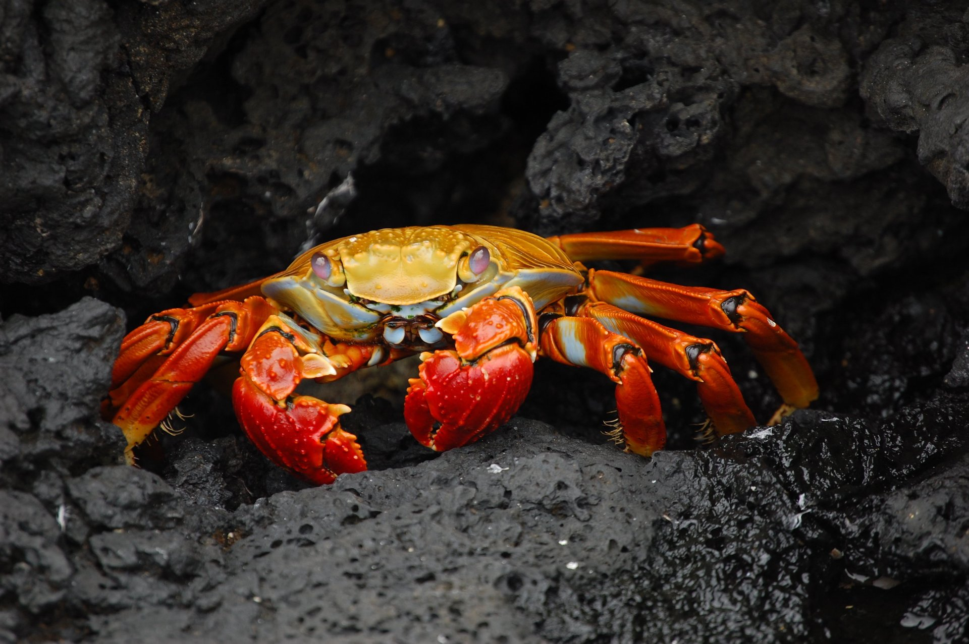Red Rock Crab in Galapagos Islands 2020 - Best Time