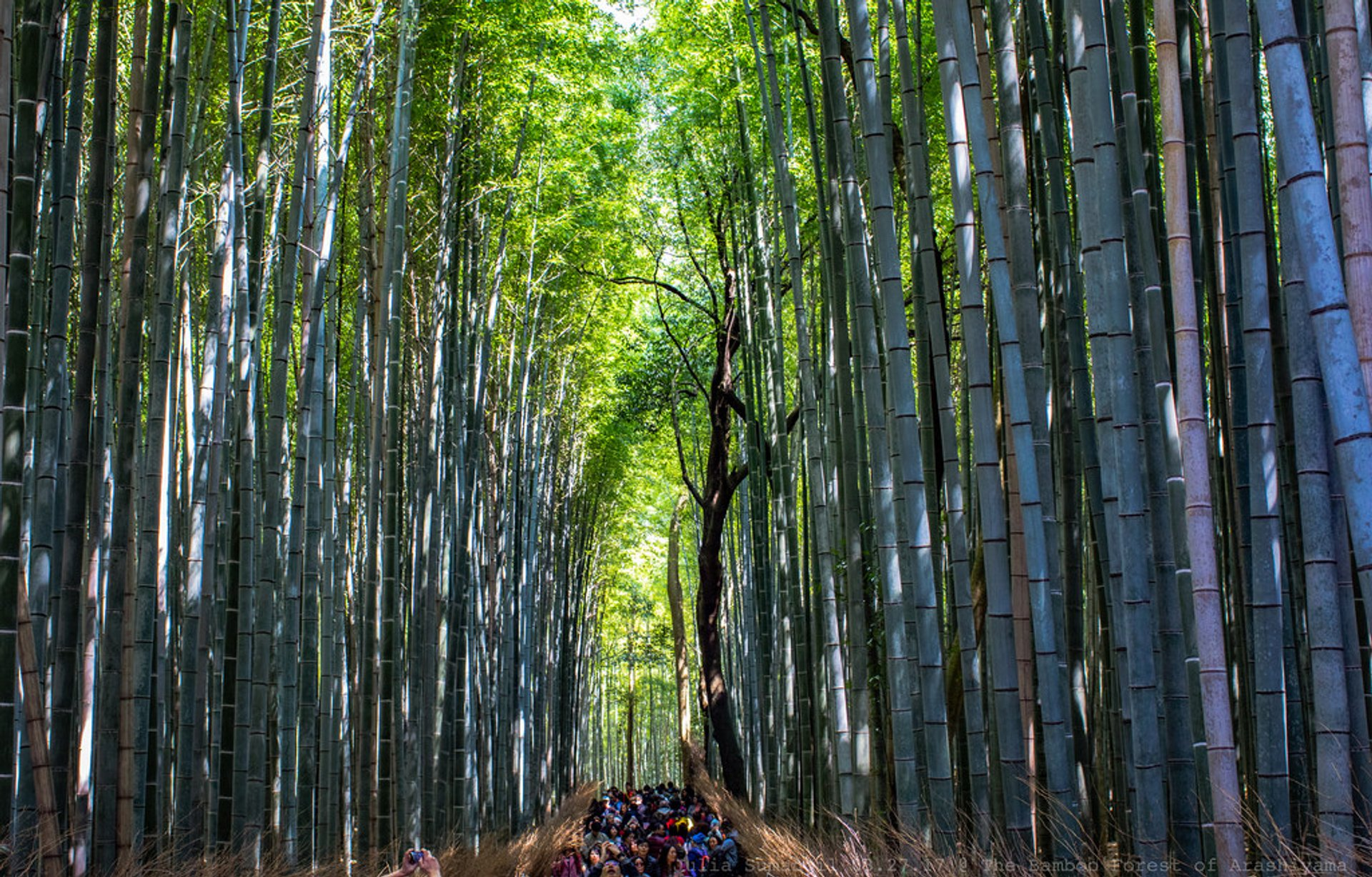Sagano Bamboo Forest (Arashiyama) in Kyoto - Best Season 2020