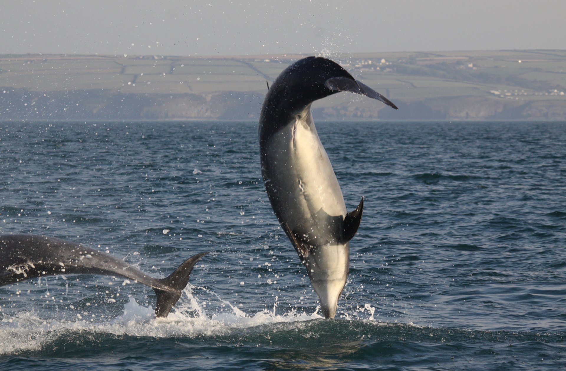 Bottlenose Dolphins in Cardigan Bay in Wales - Best Season 2020
