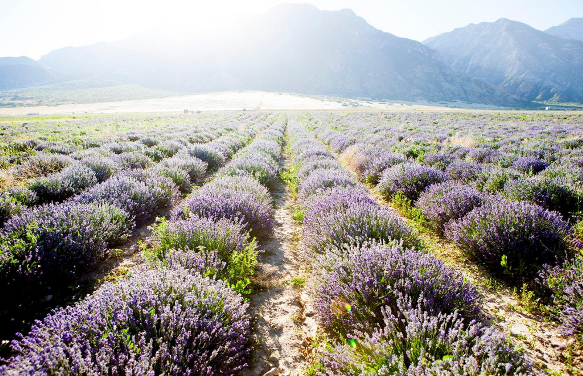 Lavender Days in Utah 2020 - Best Time
