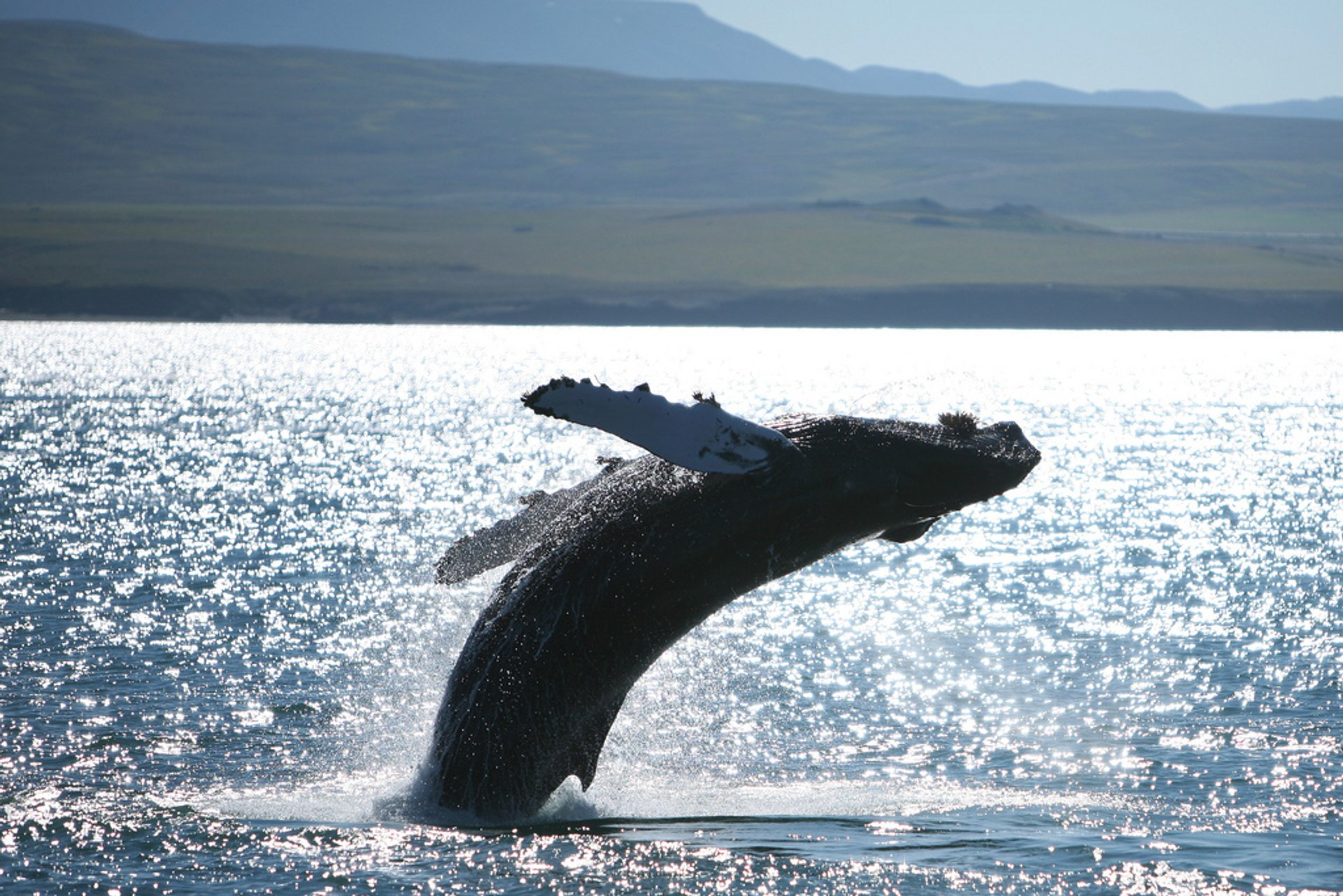 Best time to see Whale Watching in Iceland 2020