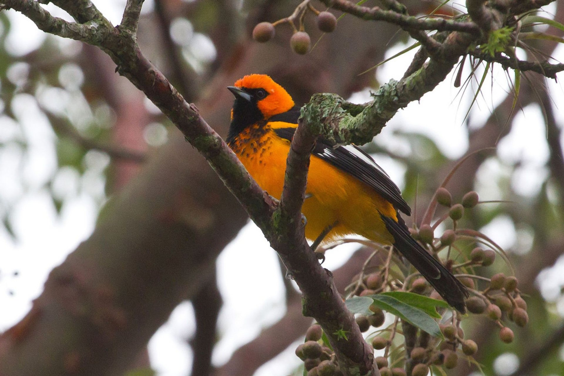 Spot-breasted Oriole 2020