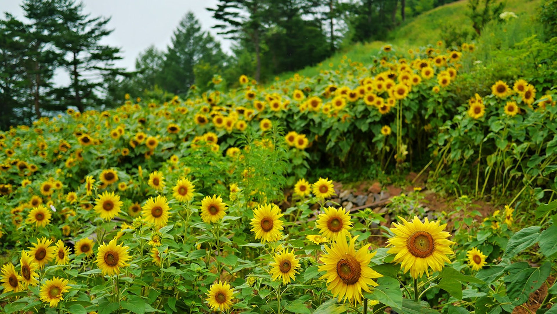 Best time to see Sunflowers in South Korea