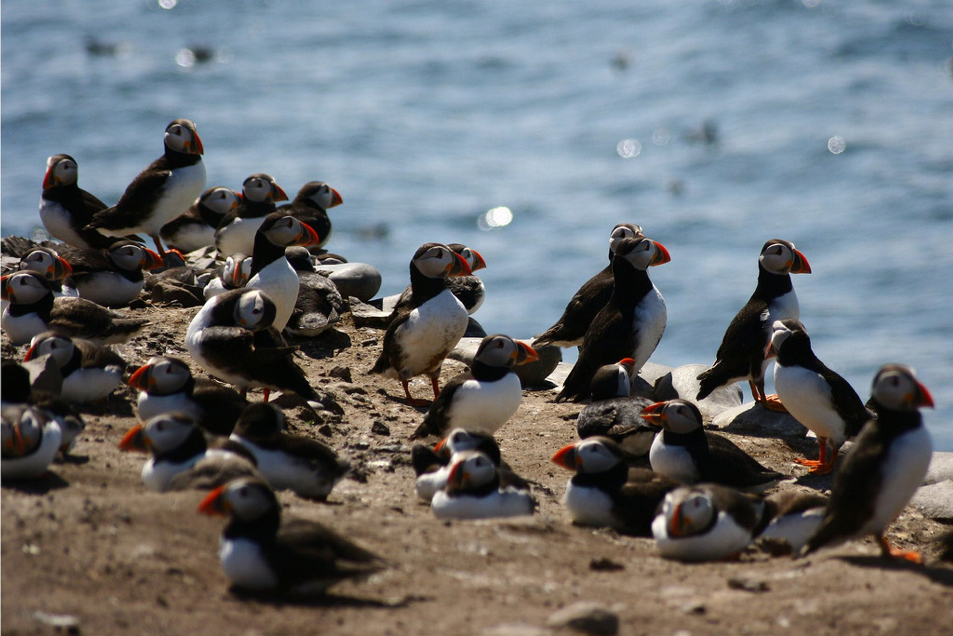 Puffins at Farne Islands