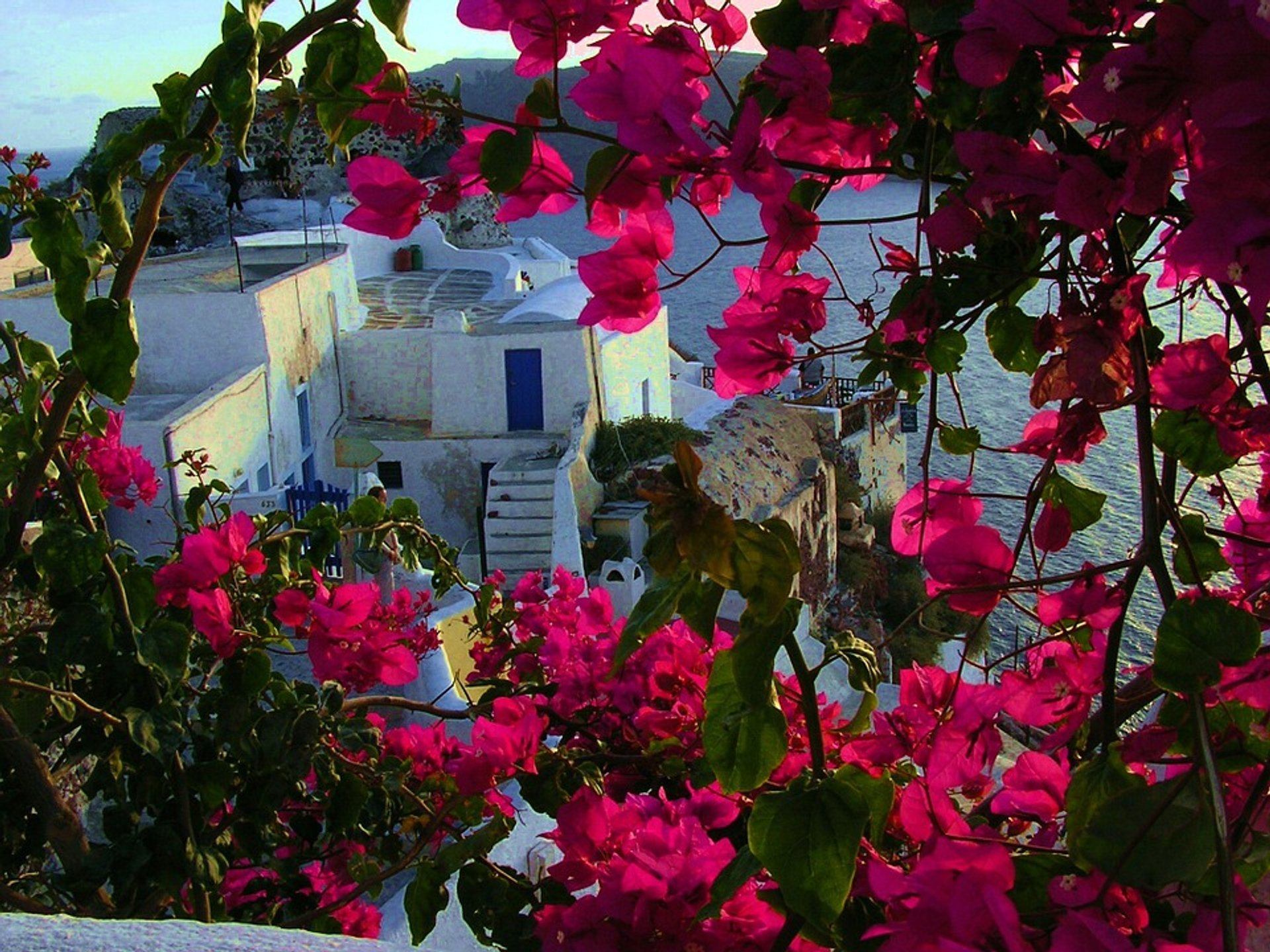Fuchsia Bougainvillea Bloom in Santorini 2019 - Best Time