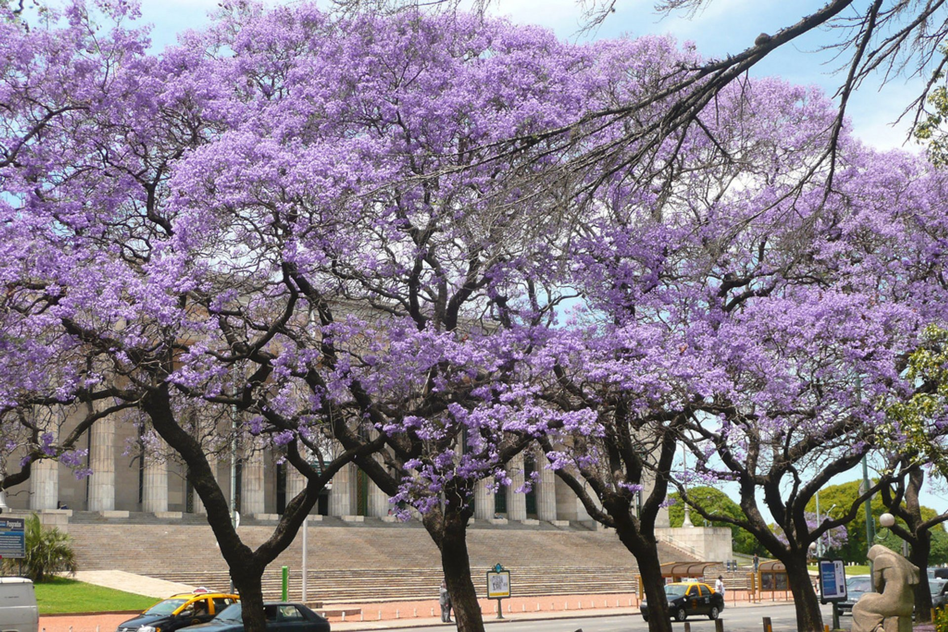 Best time for Jacaranda Bloom in Buenos Aires 2019