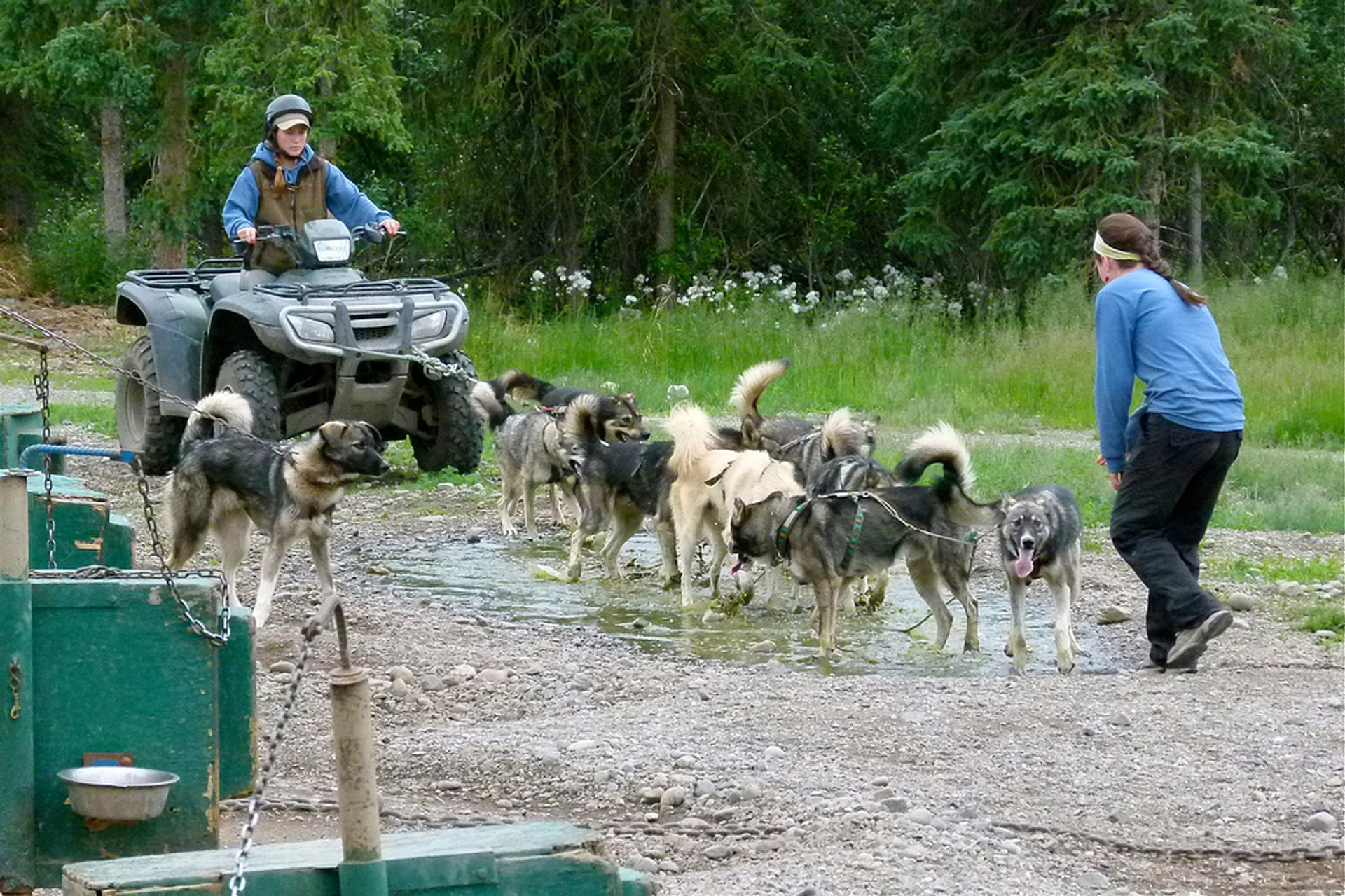 Dog-sled summer training, Iditarod, Alaska, USA 2020